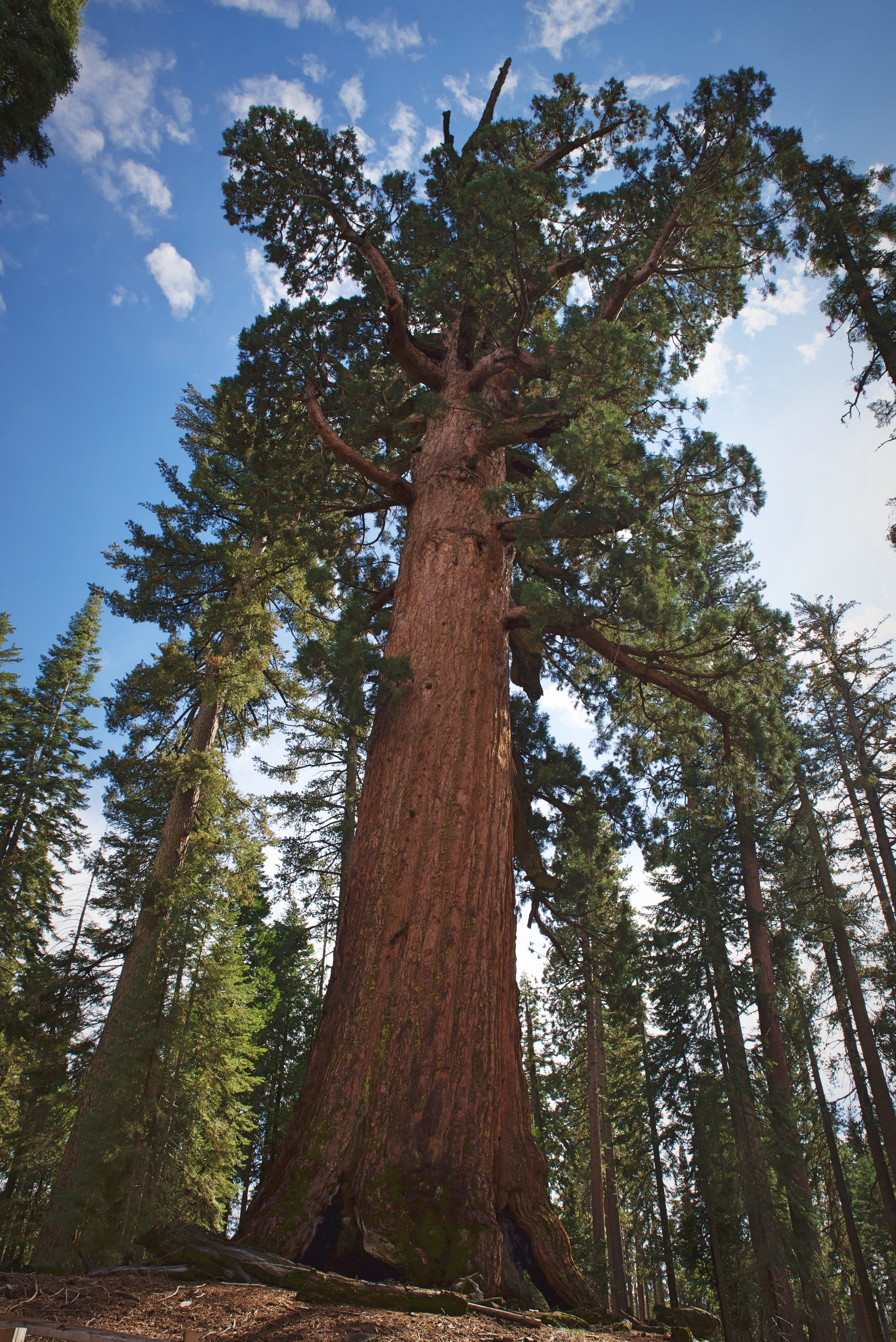 The Grizzly Giant has some branches that are as big as many of the trees surrounding it.