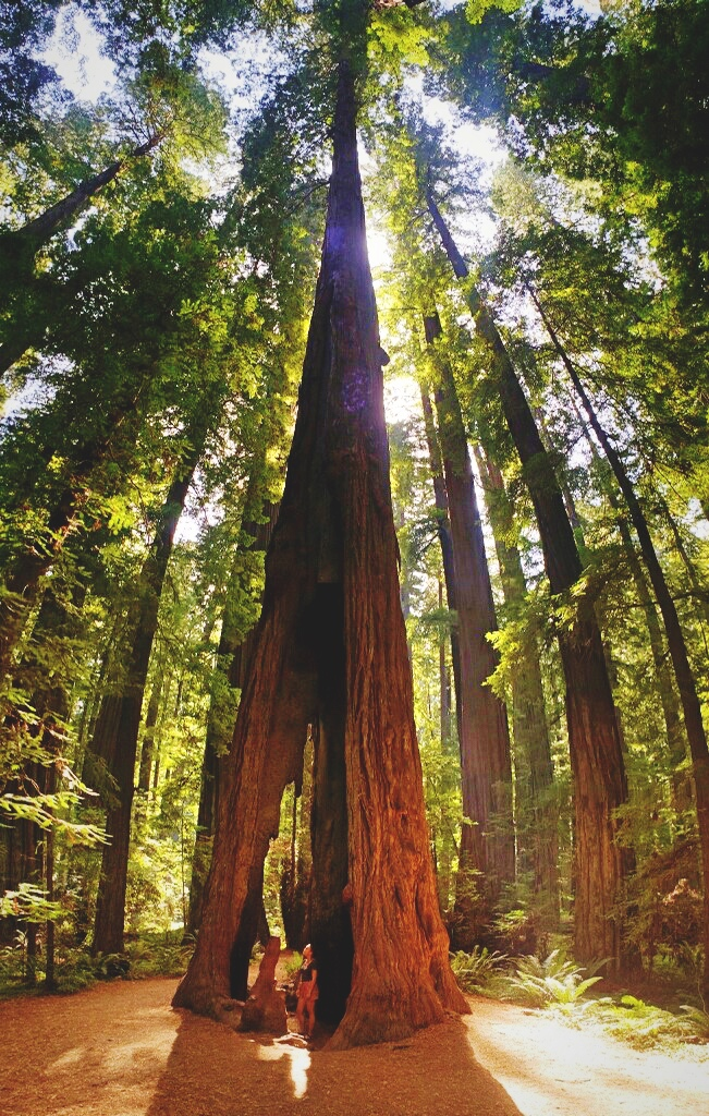 Even when the trees have been hollowed out by wildfire they can still continue to live for hundreds of years.