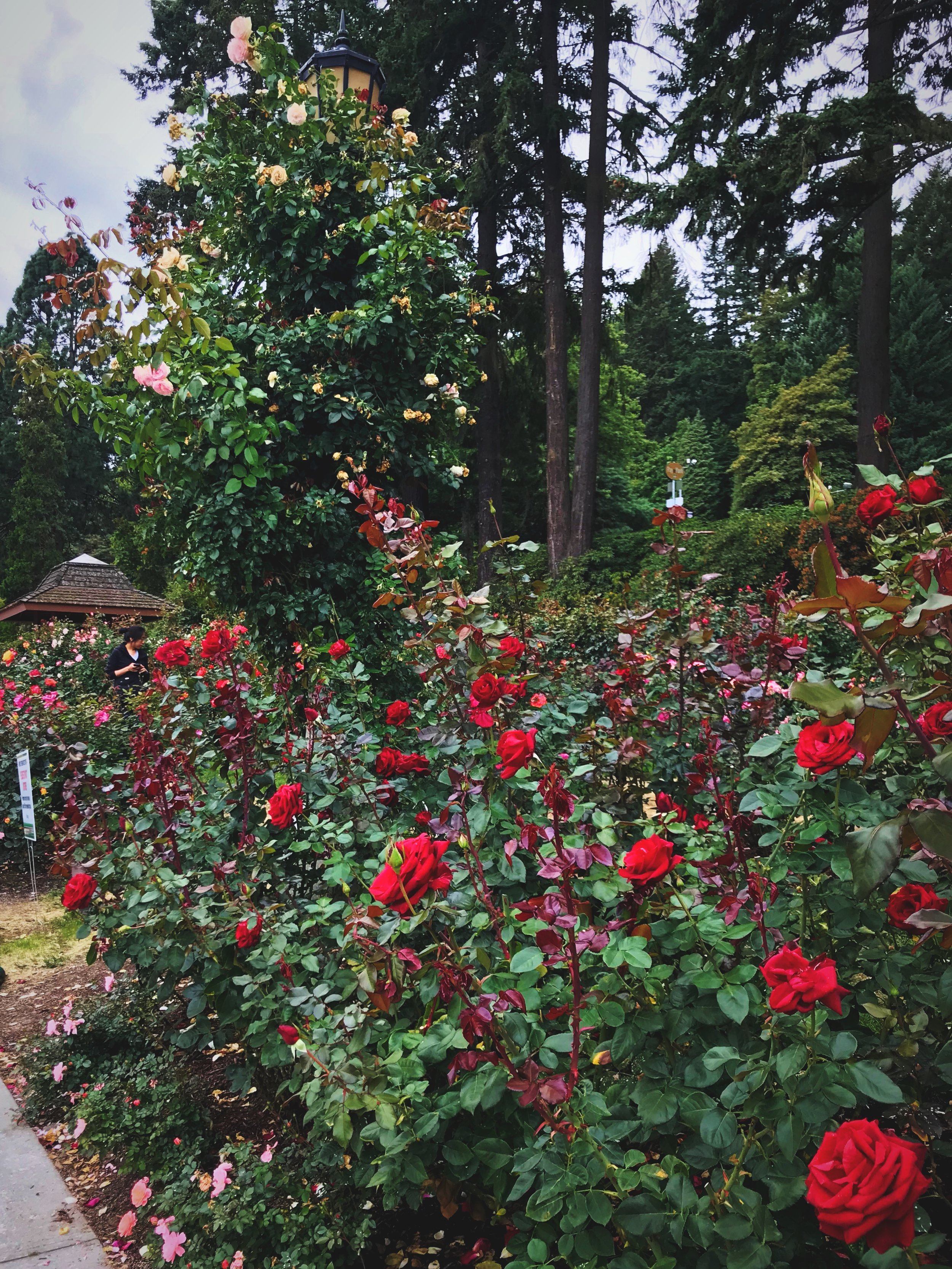 There are so many varieties of beautiful roses at Portland International Rose Test Garden.