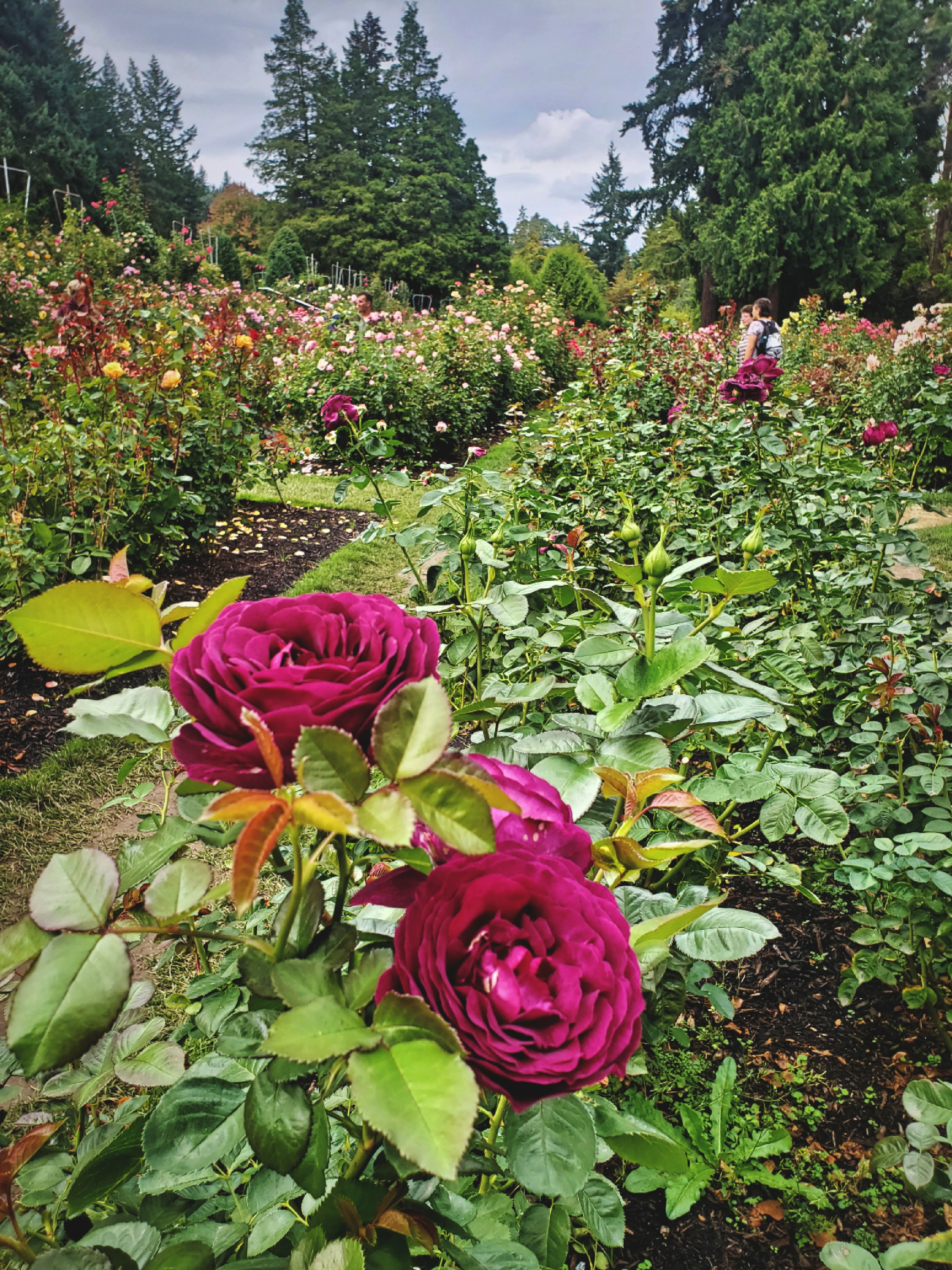You wouldn't expect to find a formal English rose garden like this in the middle of Portland!