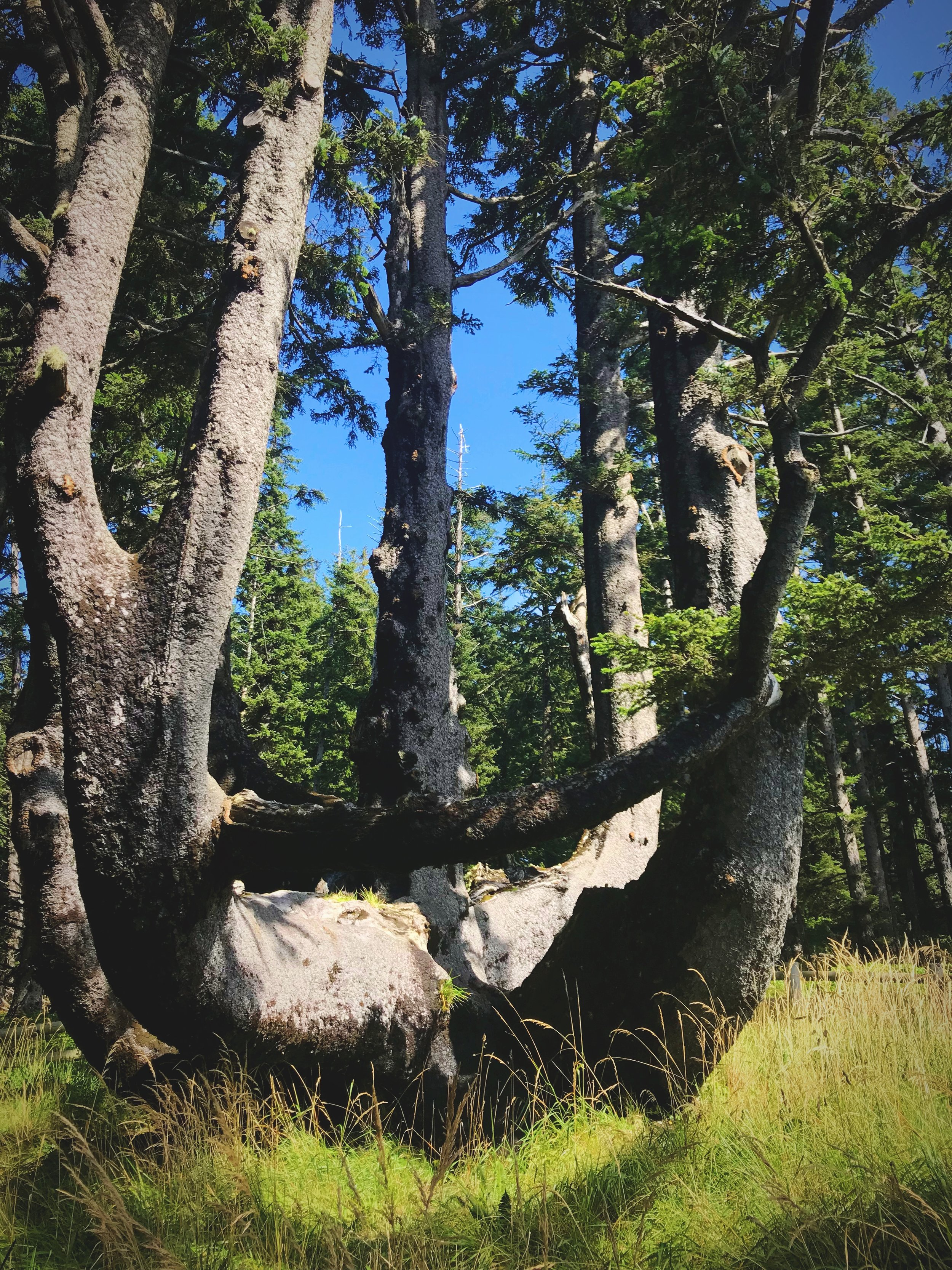 The Octopus Tree might not be massive or ancient, but it's really weird.