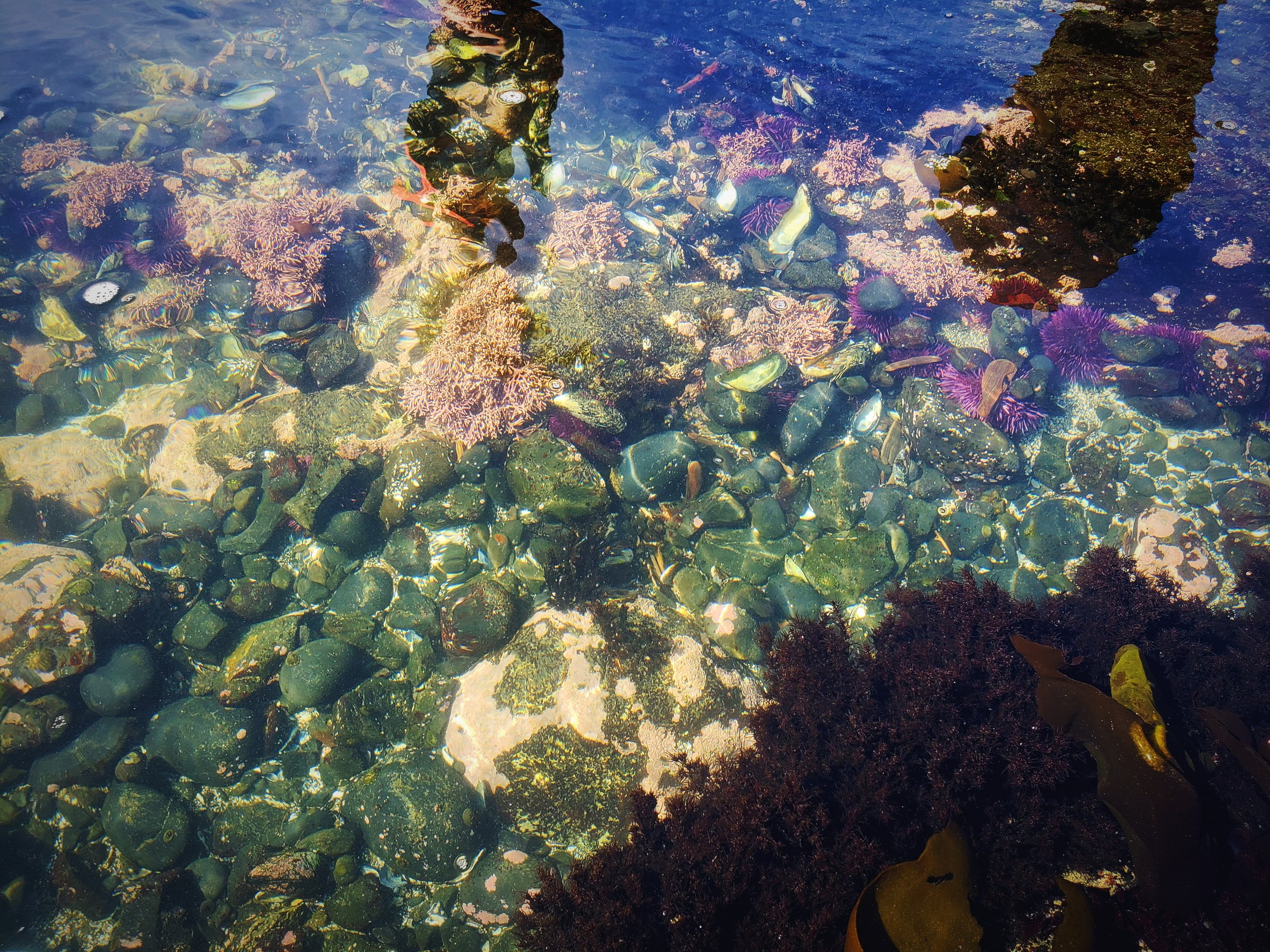 The purple urchins and the various types of kelp and algae create a great contrast against the black stones.