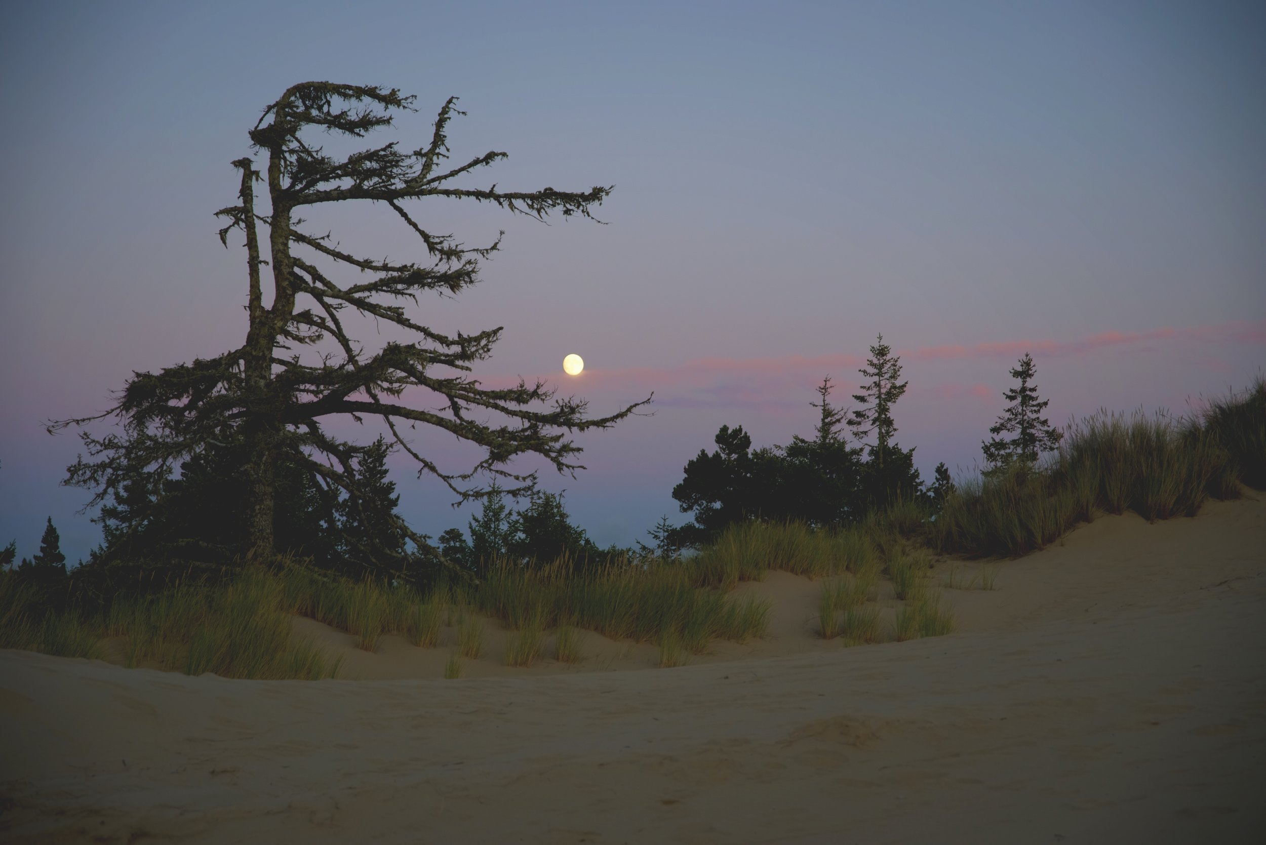 These scraggly shore pines somehow manage to survive in the poor soil of the dunes.