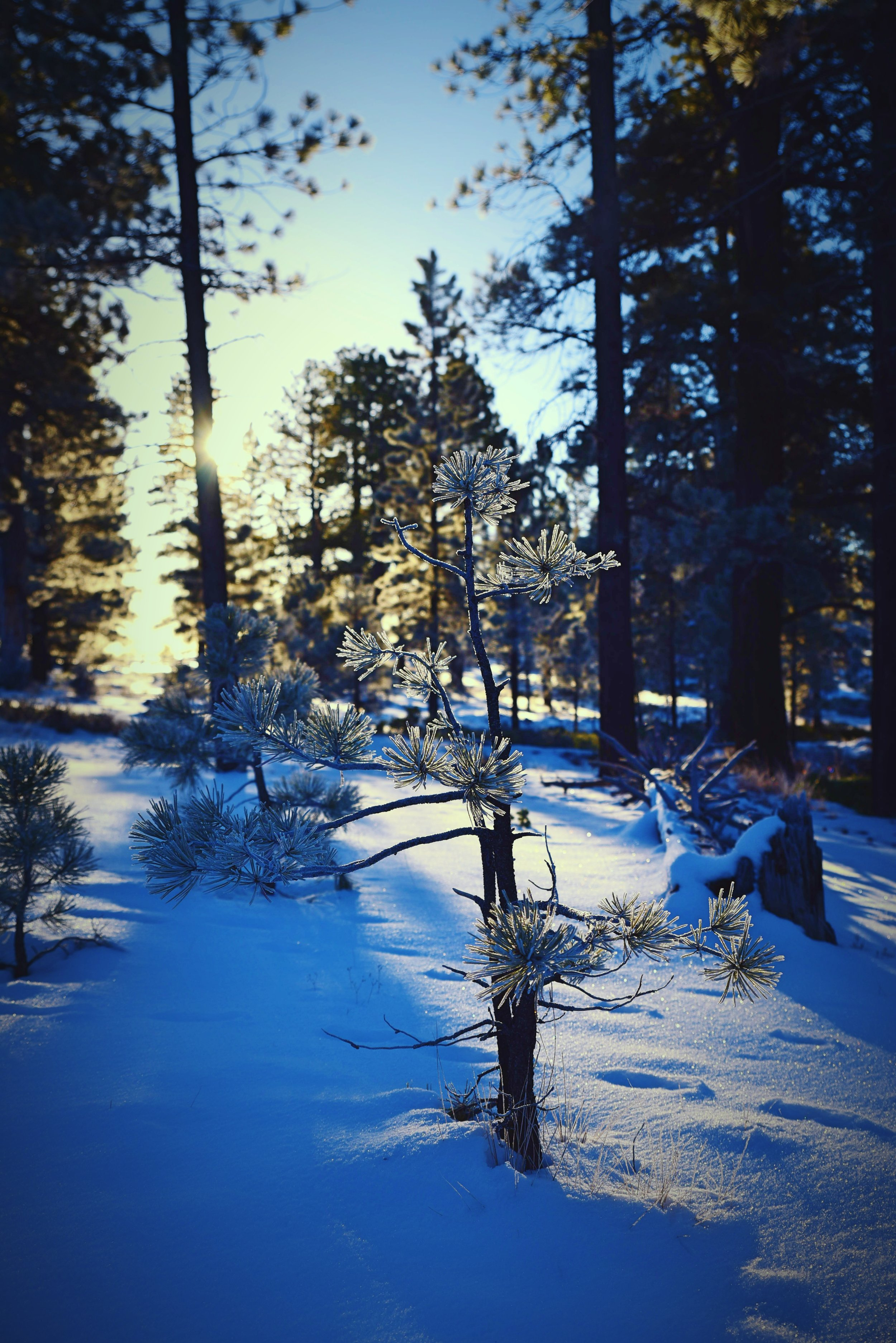 Early in the morning, the trees on the canyon rim were covered with a beautiful hoar frost.