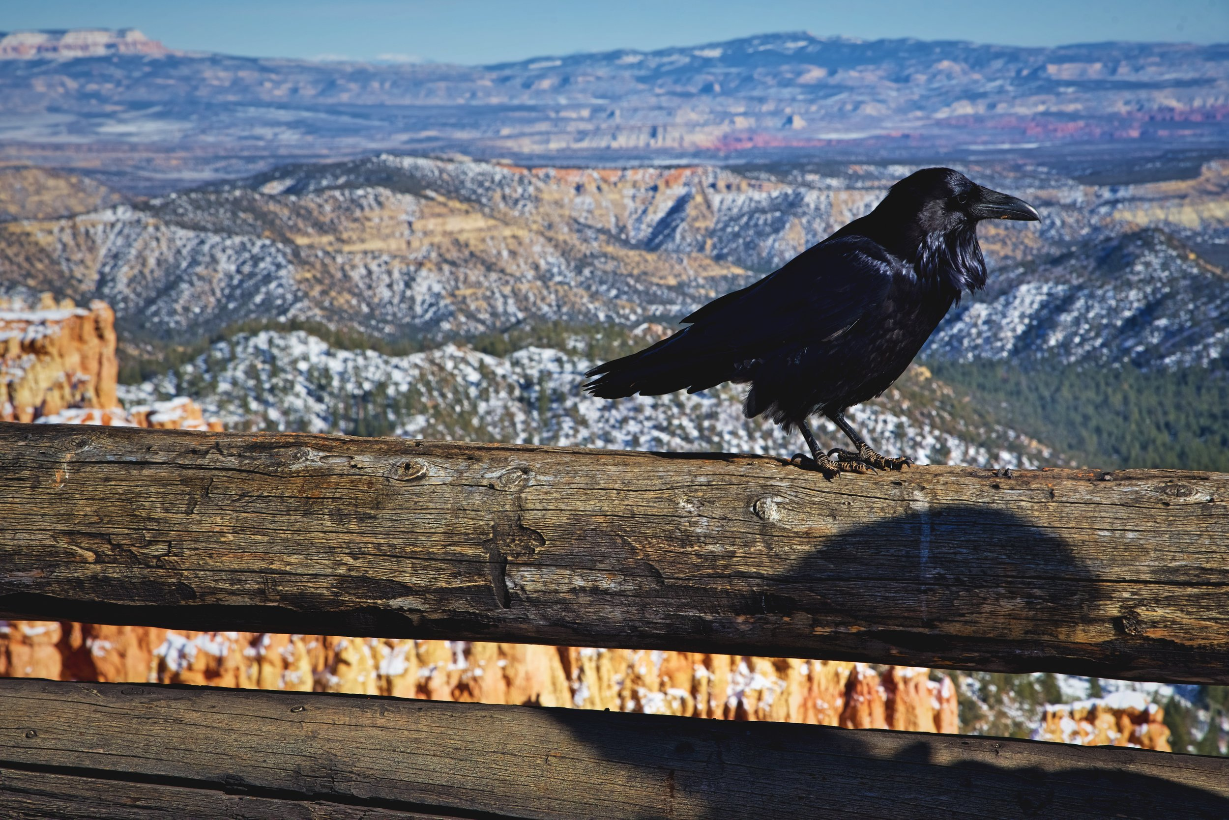 If you get an opportunity to look at a raven's feathers close up, they are a very shiny bluish-black color.