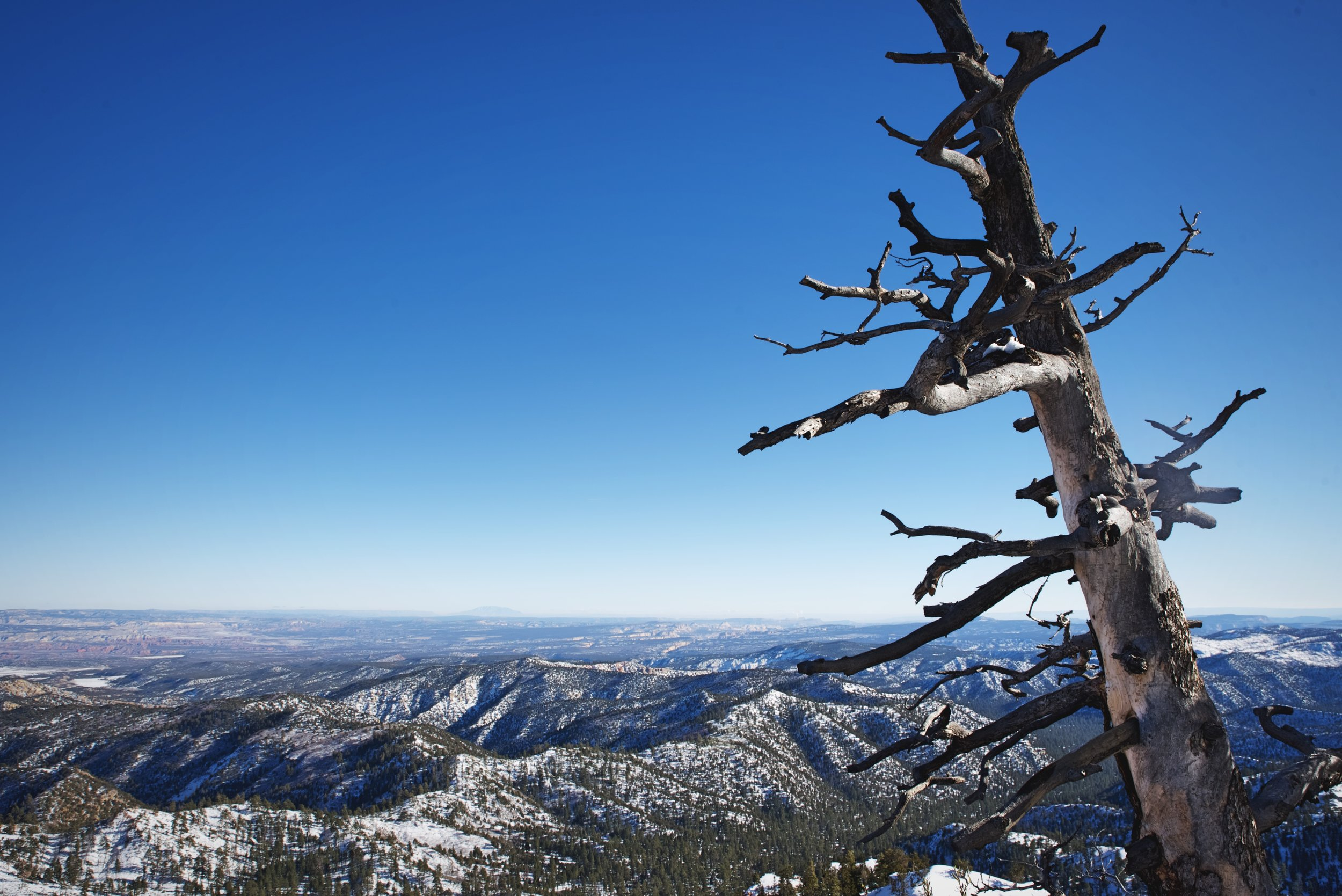 We thought this scraggly old tree really added to the view at Piracy Point. Bryce Canyon is also home to some ancient (though relatively young for the species)  bristlecone pines.