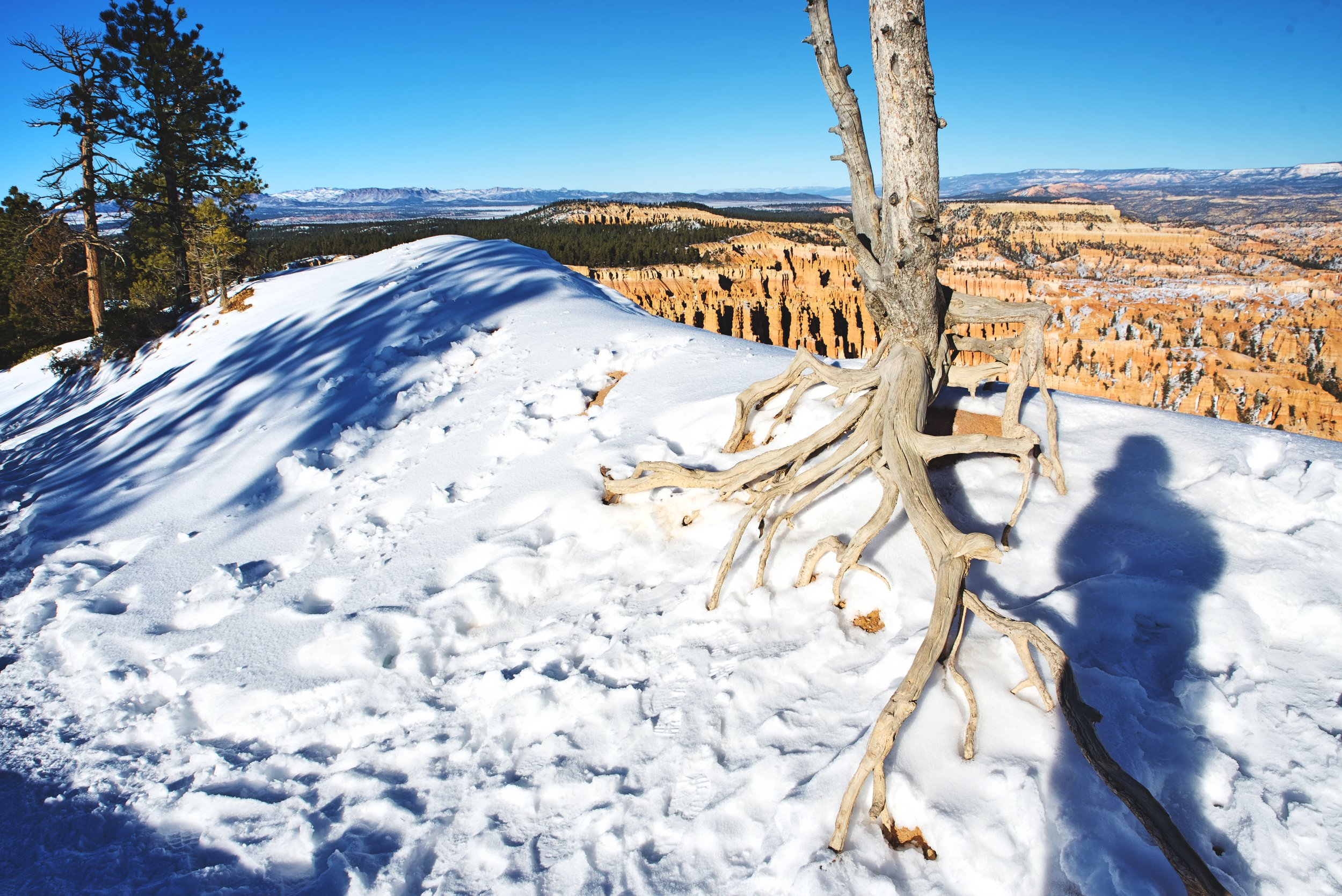 The exposed roots of this tree reveal just how quickly Bryce Canyon is eroding.