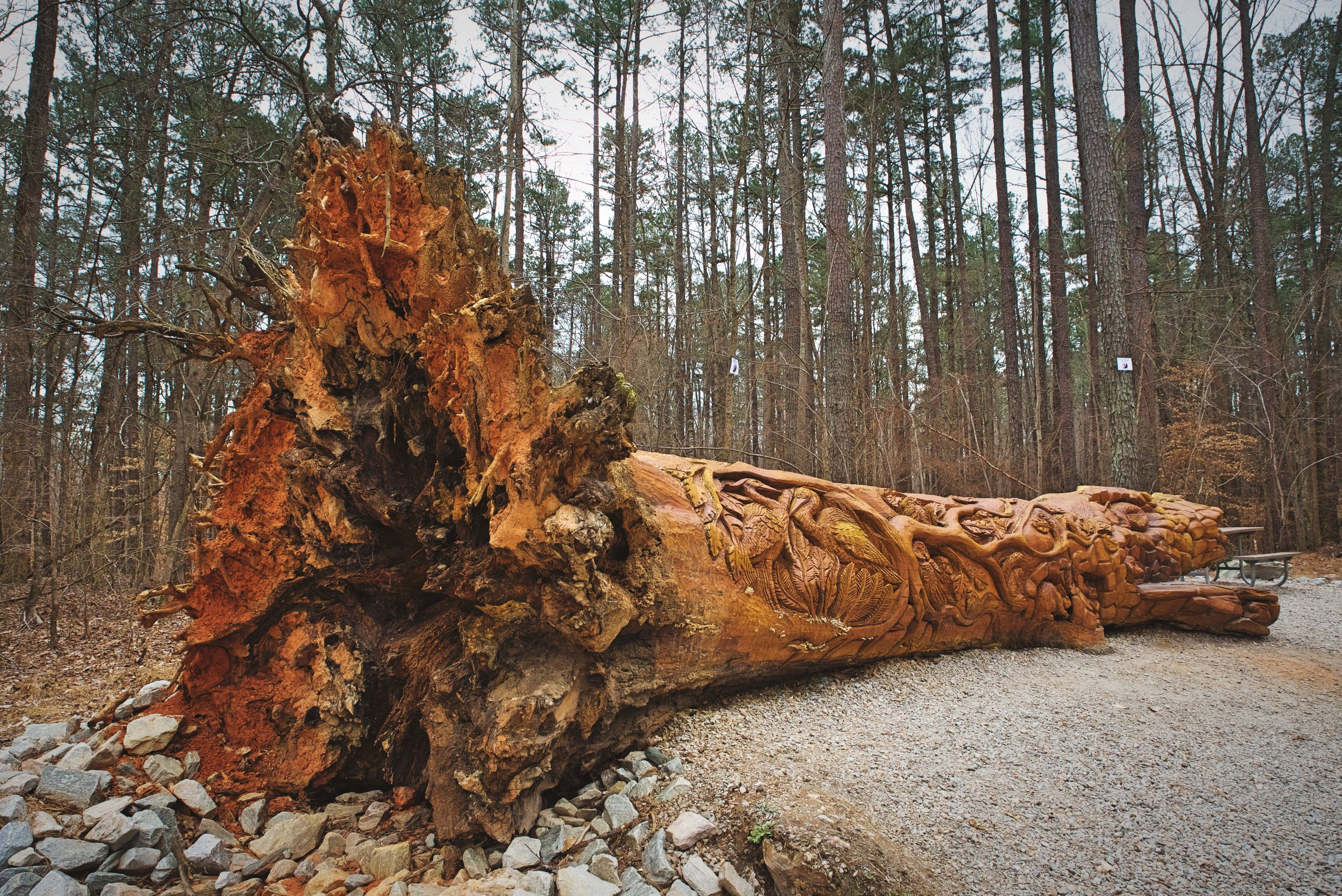 The chainsaw art is carved into the massive trunk of a fallen oak tree.