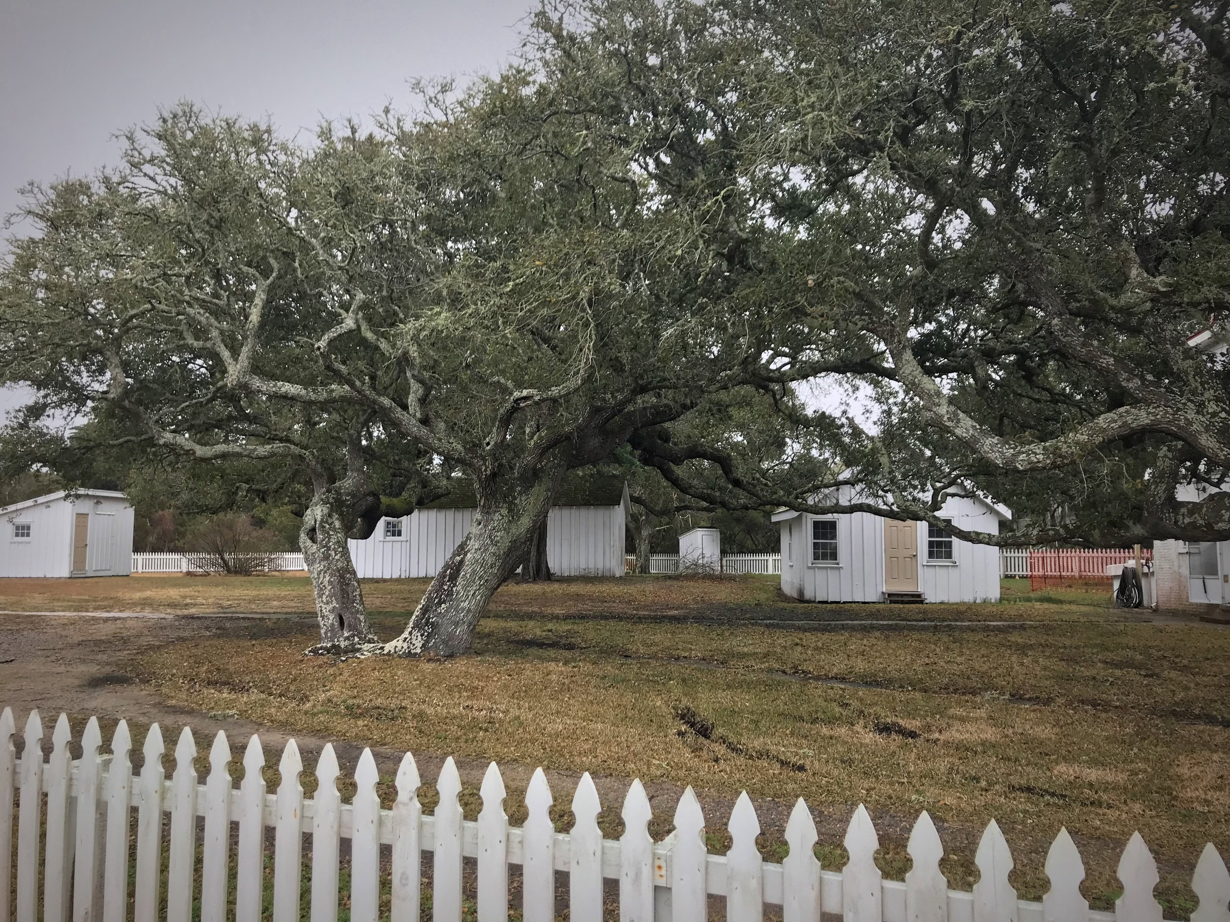 The trees on Ocracoke Island are incredible, because they are beautifully gnarled by the ocean.