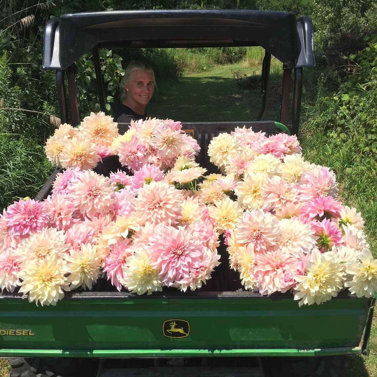 Harvesting Cafe au Lait Dahlias