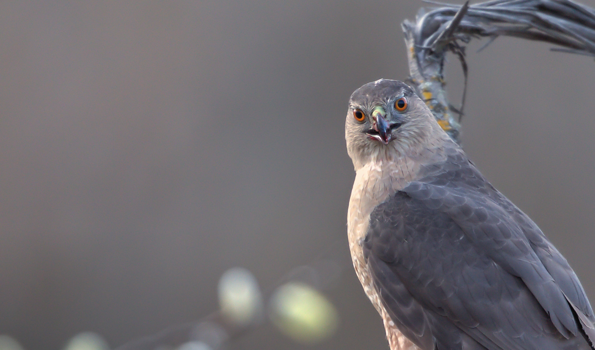 Cooper's-Hawk-Saved-for-Web-Narrow.jpg