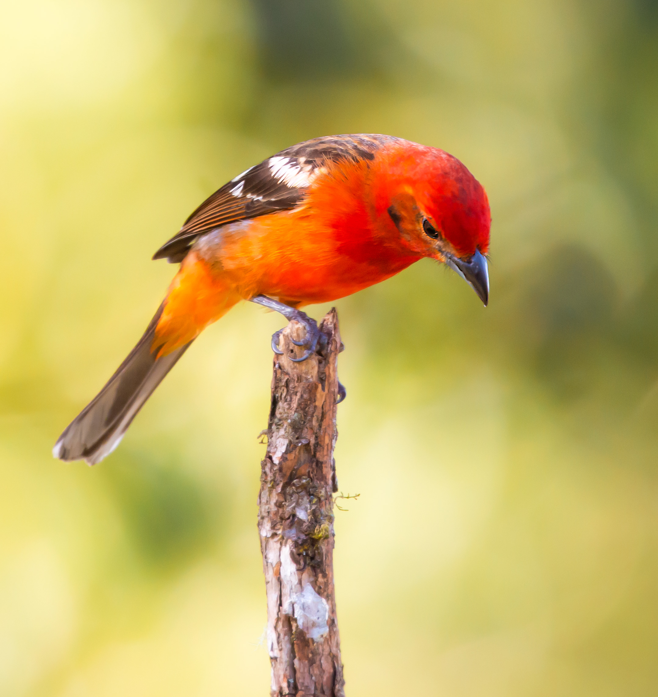 Flame-tanager-Saved-for-Web-dueiwe.jpg