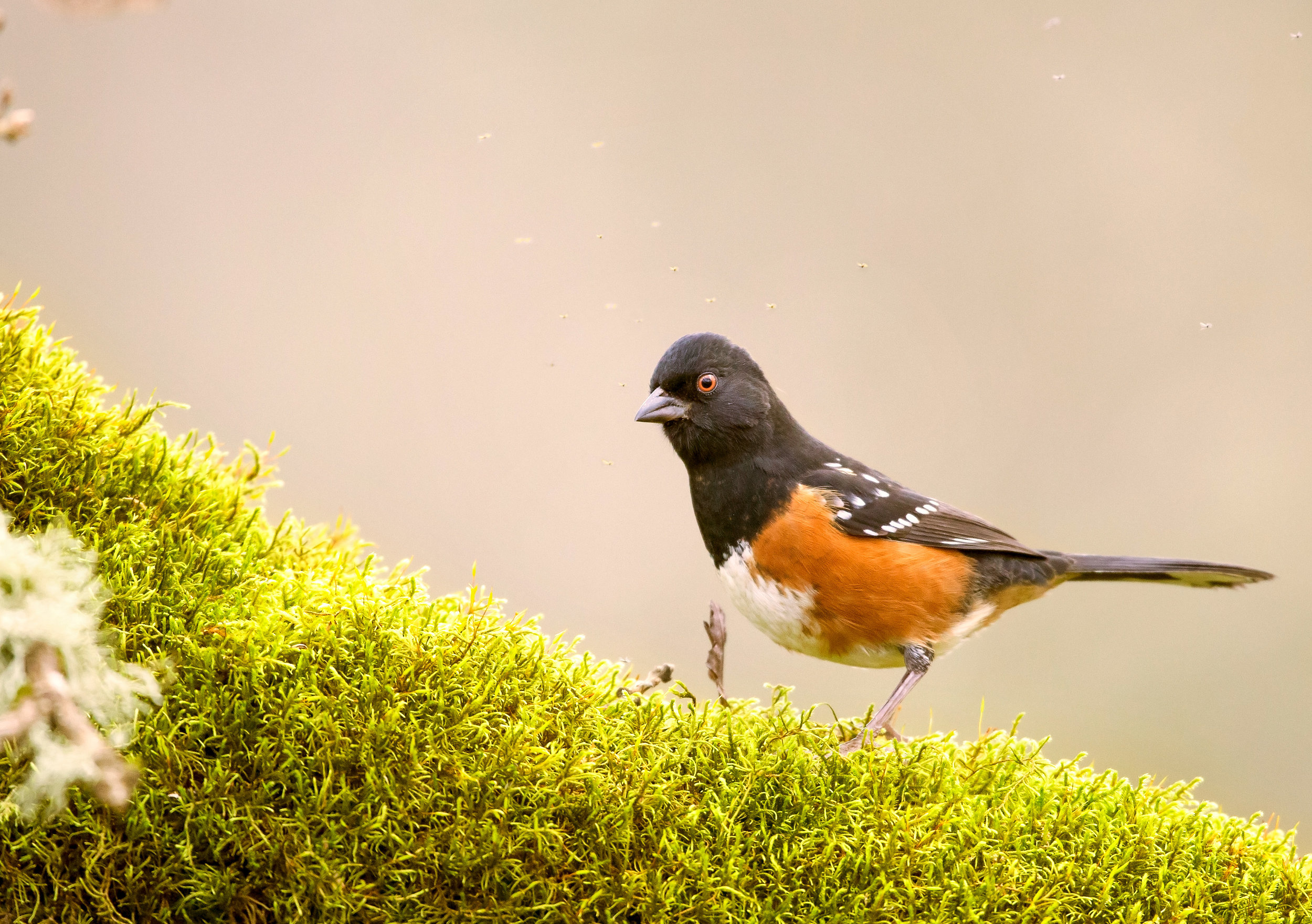 Towhee-bugs-Reddit-Comp-Saved-for-Web.jpg