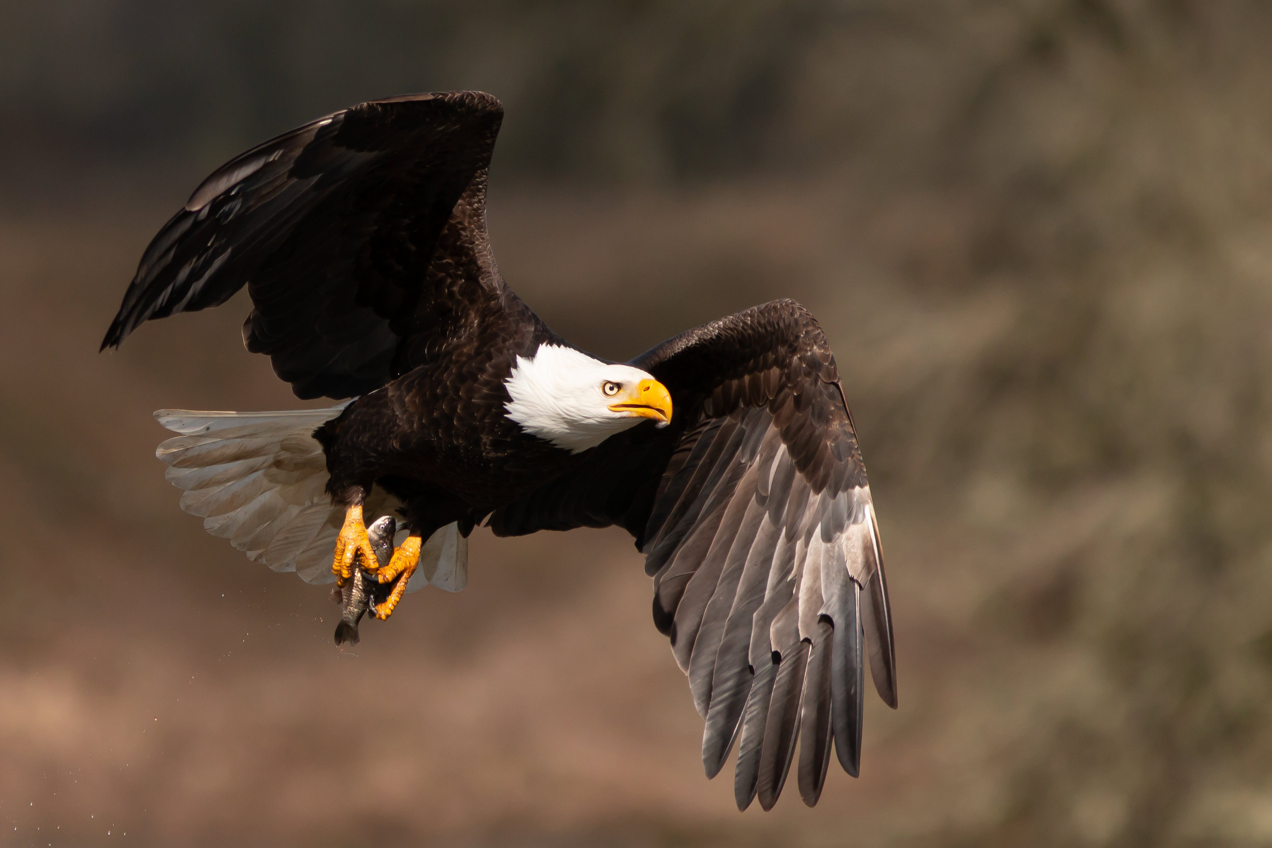 EAgle-with-Fish-for-Print-Saved-for-Web-dhe.jpg