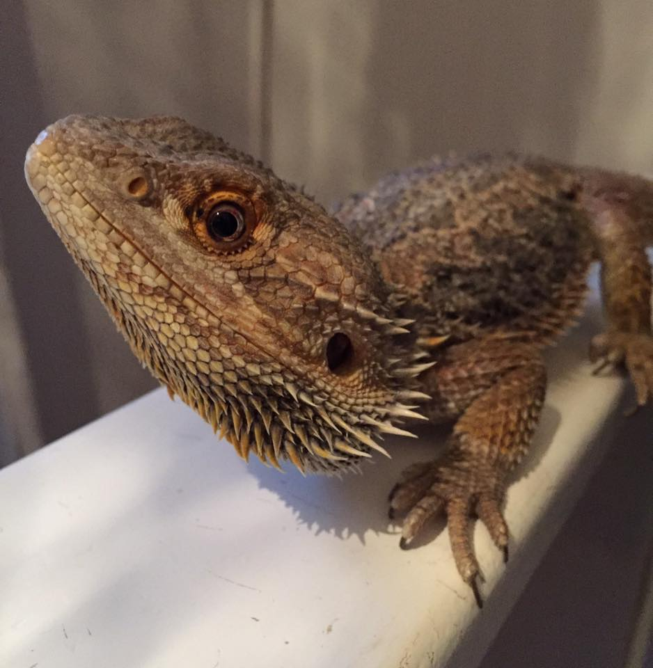 Our Bearded Dragon Drogon