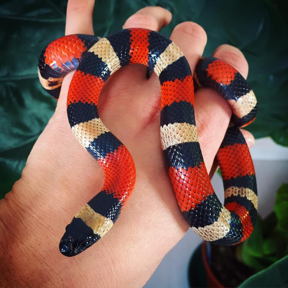Our Peublan Milk Snake Frida