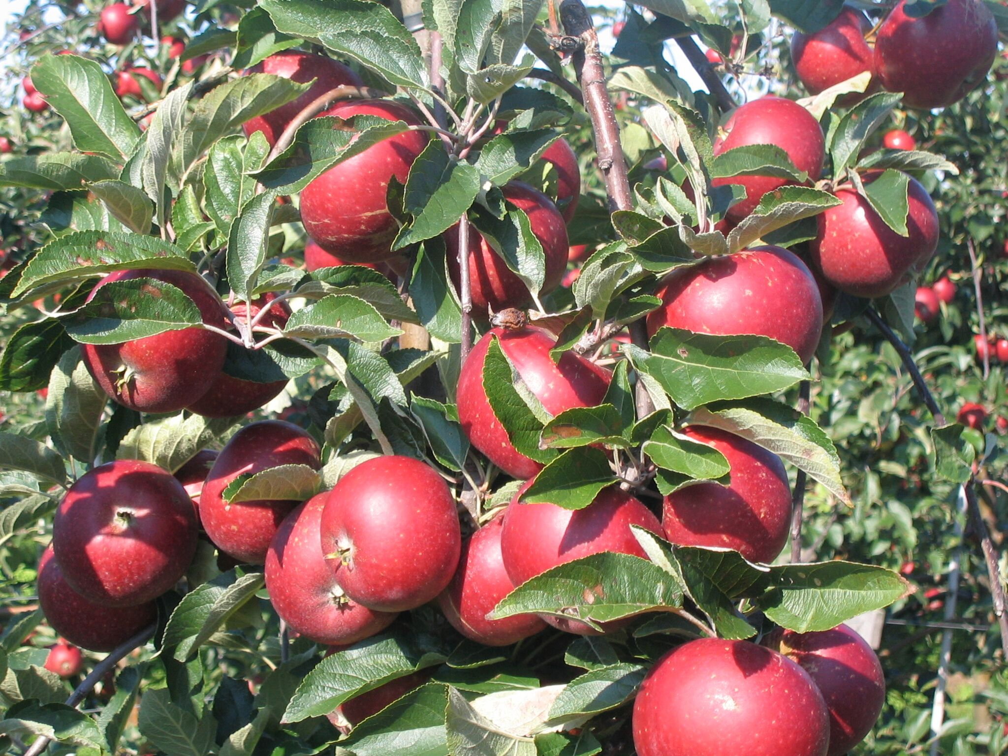 Apples from Cold Hand Winery's orchards