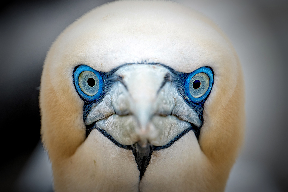GANNET STARE -  CLICK HERE TO SELECT AND PURCHASE THIS IMAGE