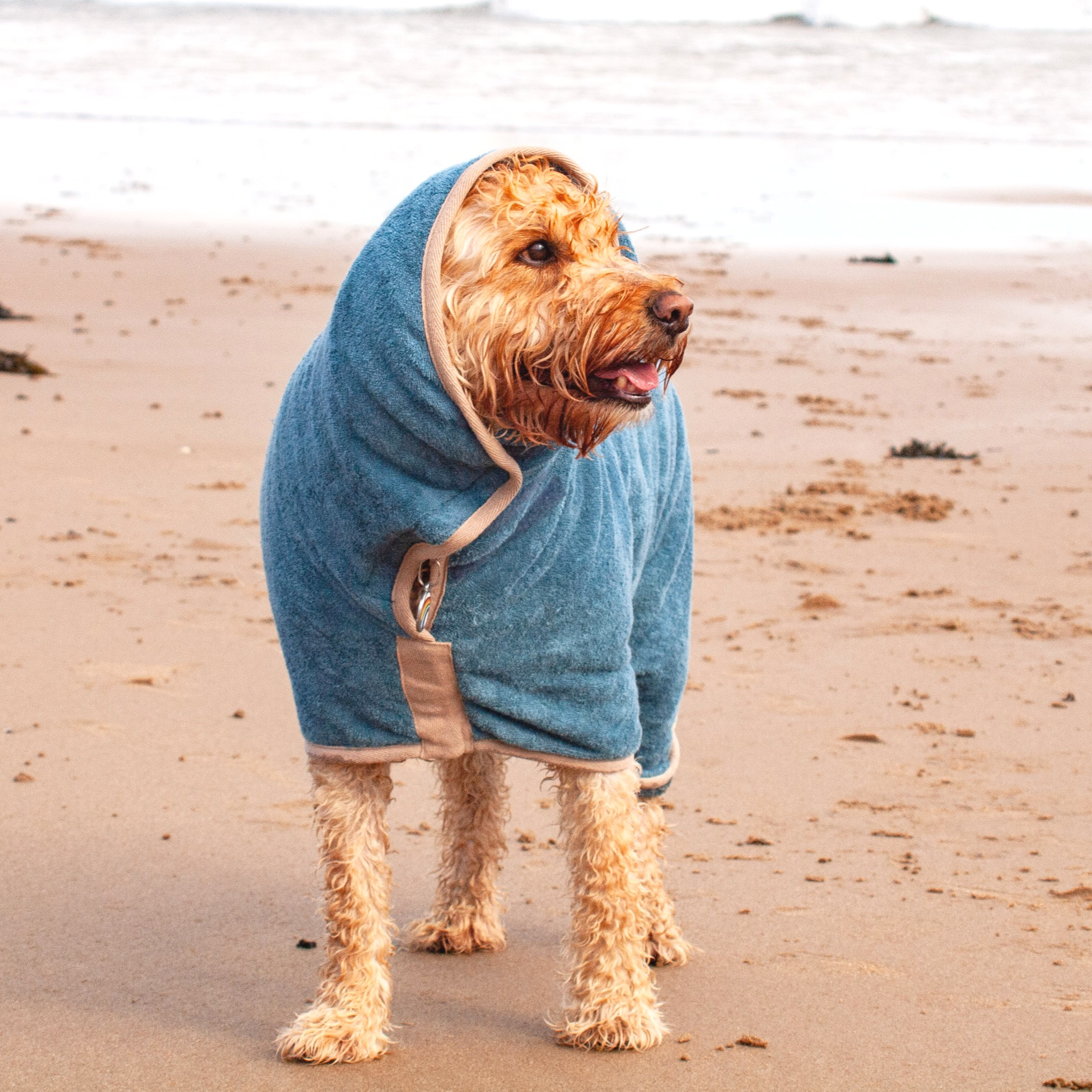 Buddy wearing his Drying Dog at Langland Bay