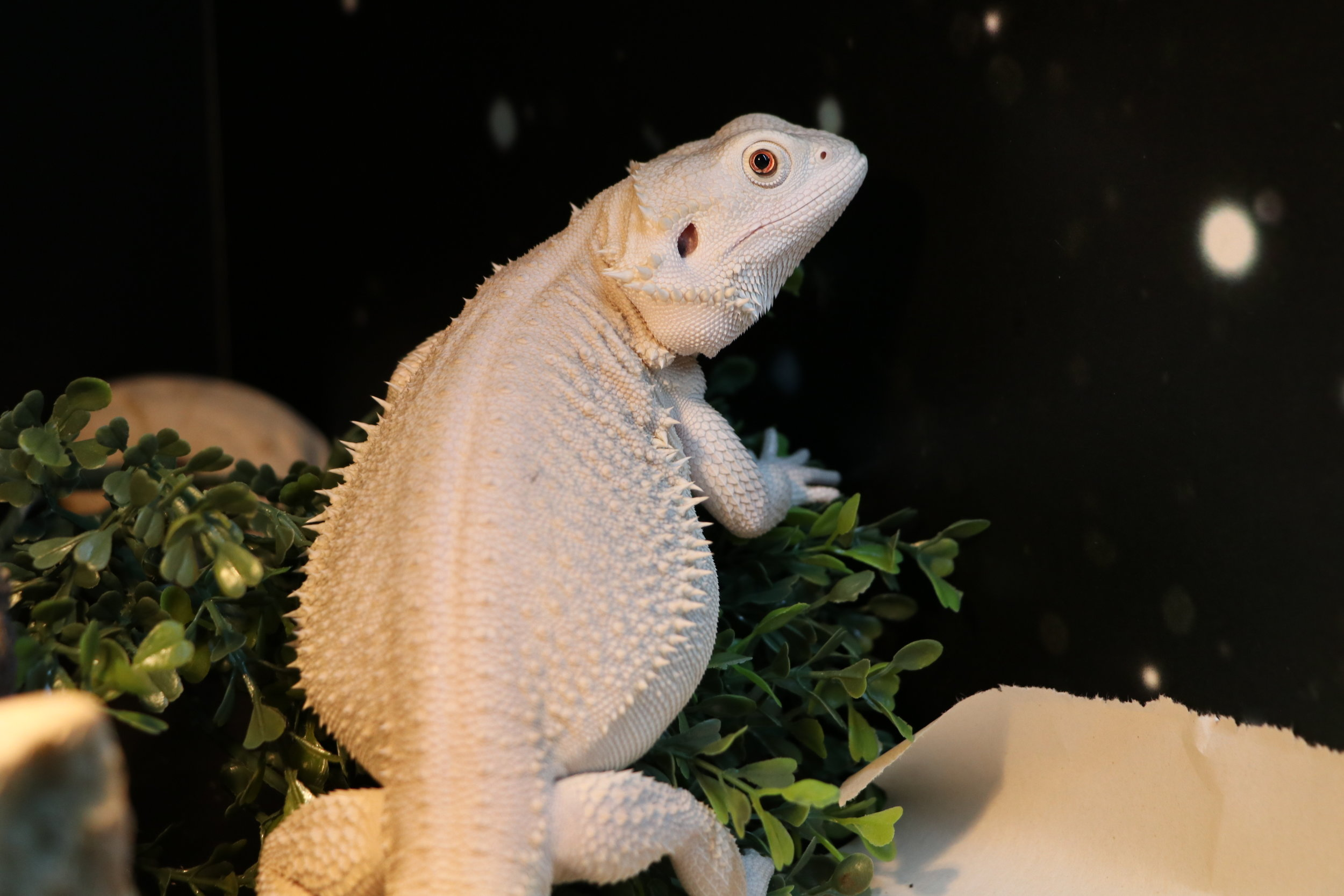Wero Bearded Dragon