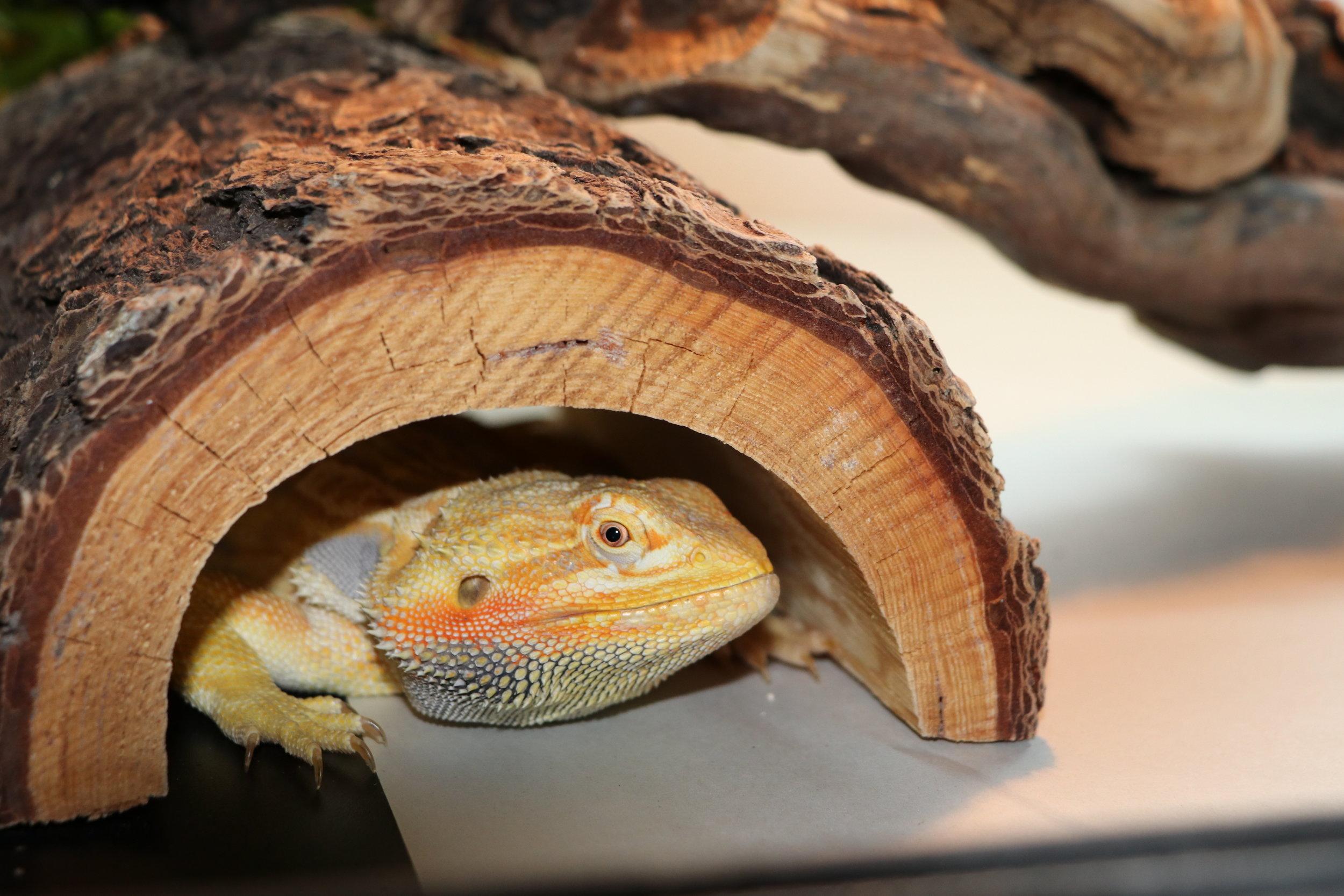 Bearded Dragon Half Log
