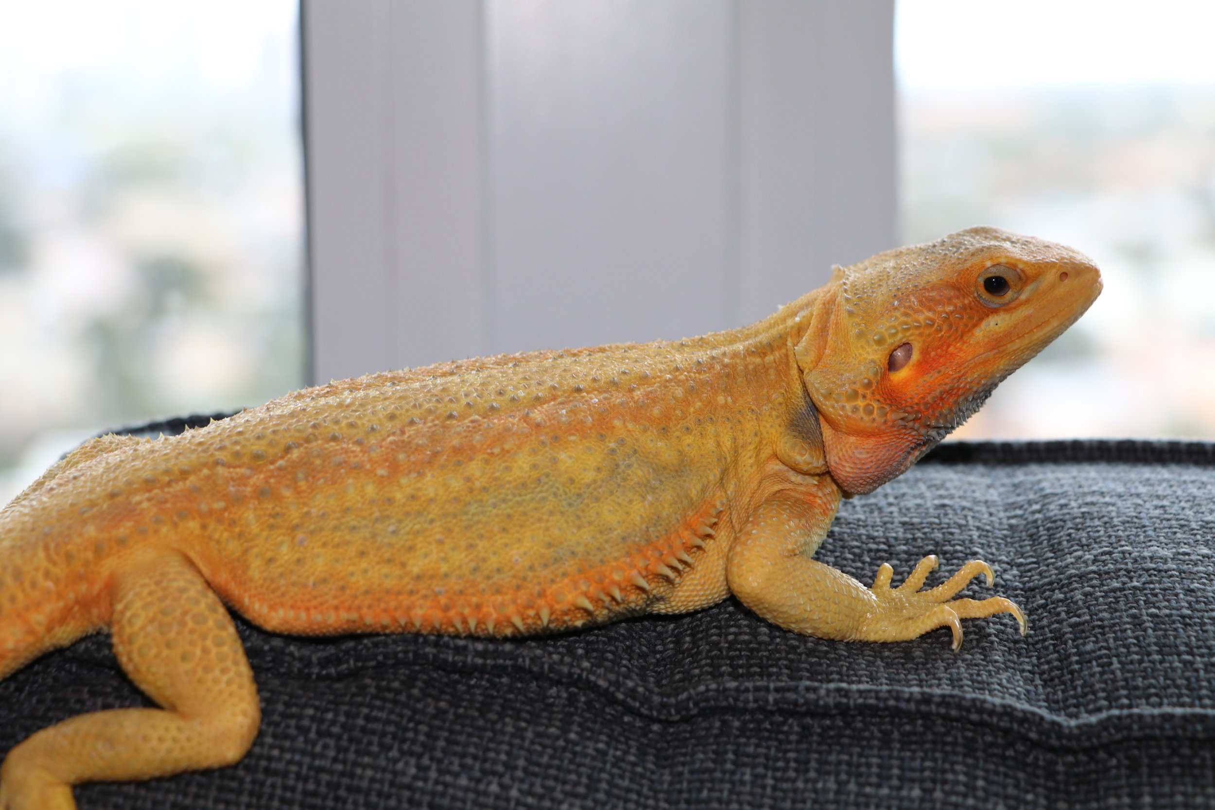 Citrus bearded dragon.jpg