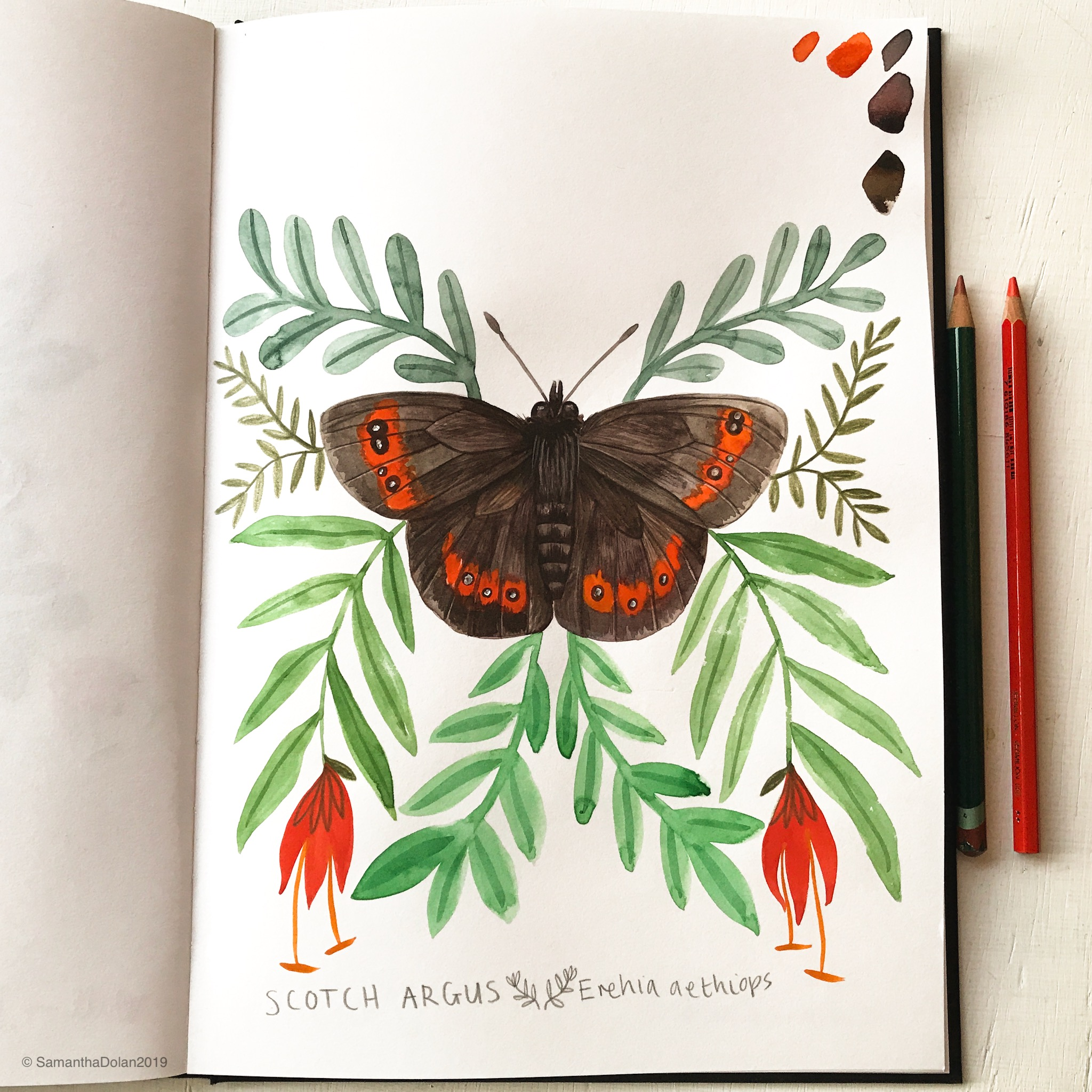scotch argus butterfly by samantha dolan.jpg