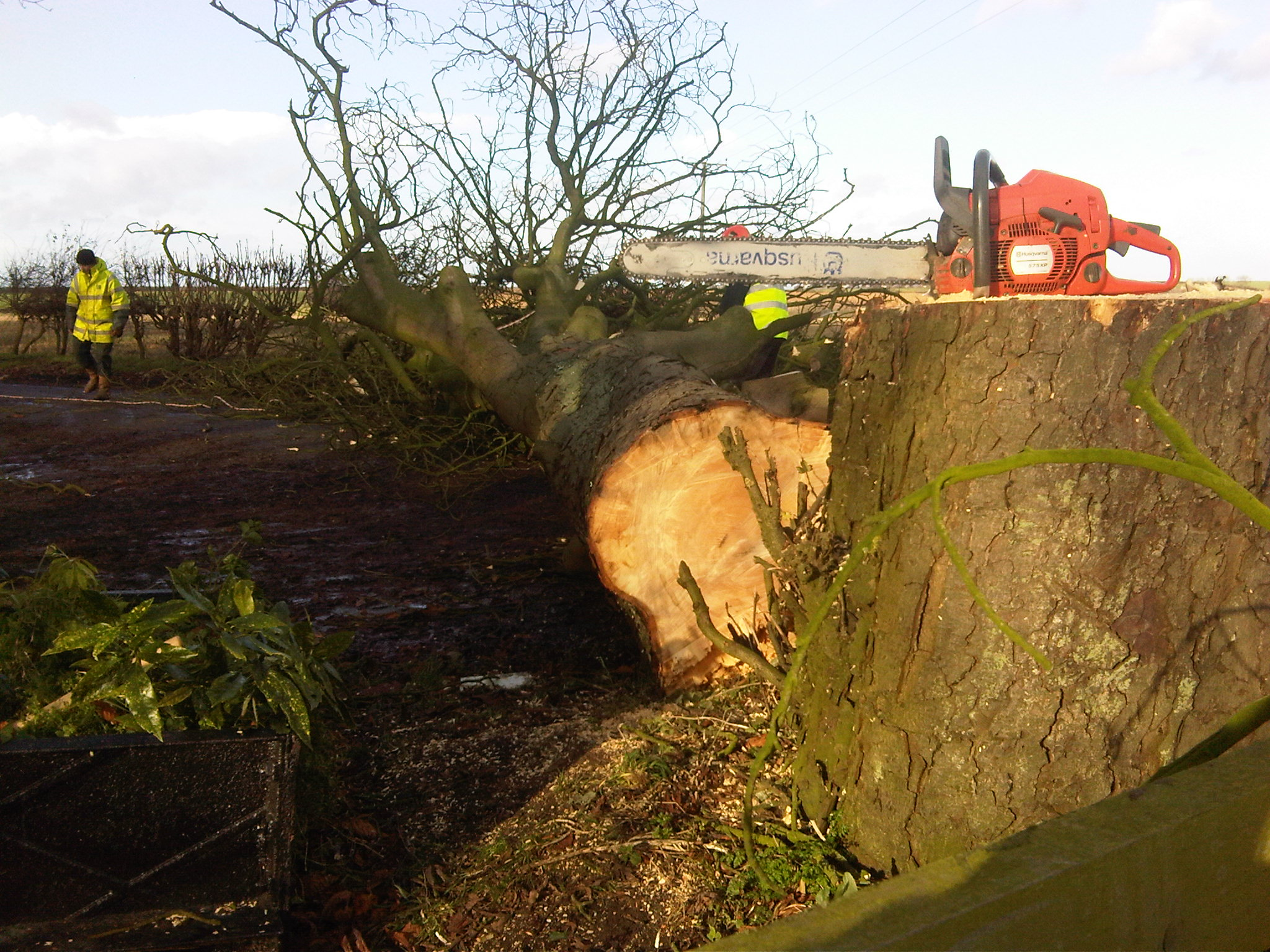 Roadside tree felling - Malton, North Yorkshire