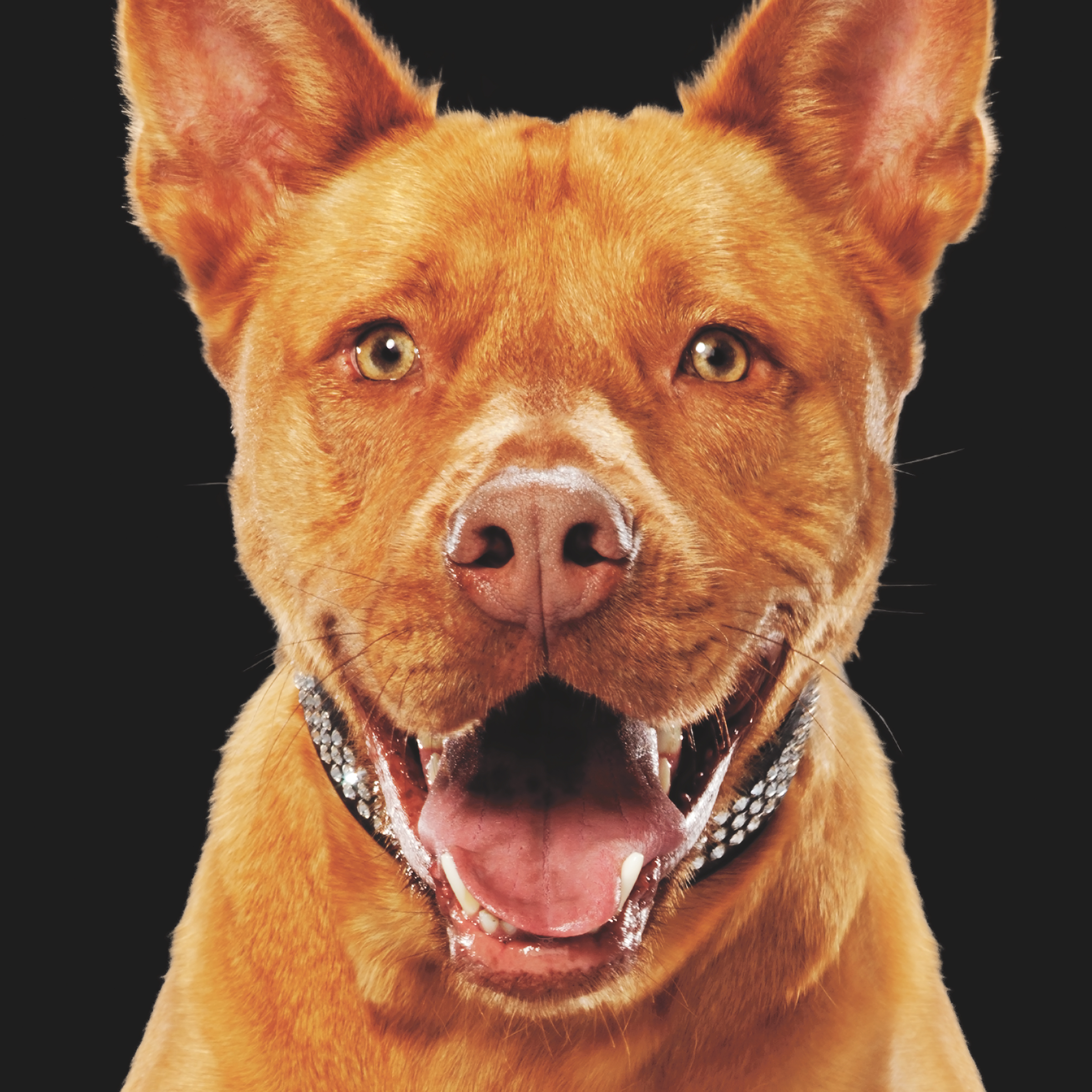 """TROOPER   Background: This big teddy bear was adopted and returned three different times from Miami Dade Animal Services; not by any fault of his own, just bad luck. The day he was rescued by Paws 4 You was the day he was to be euthanized due to a lack of space. His large size was said to be """"less adoptable.""""  Success Story: Trooper was adopted by a loving family with two girls who can't get enough of this gentle giant."""