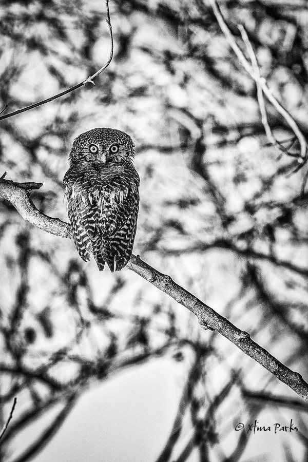 African Barred Owlette.jpg