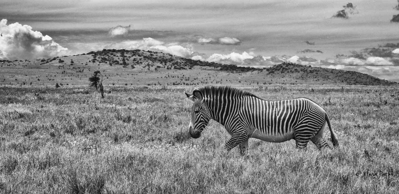 Grevy's Zebra Garden.jpg