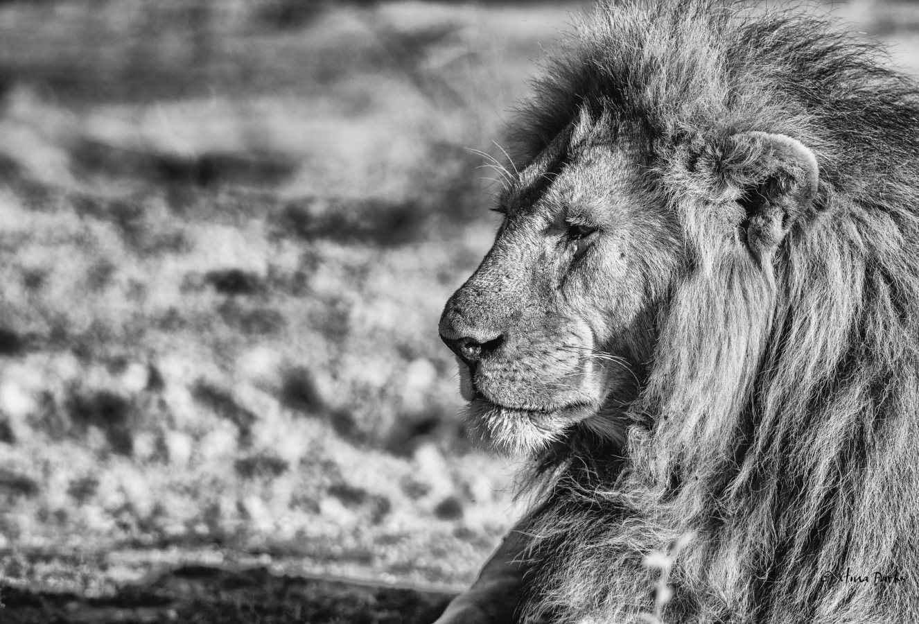 King of Ndutu.jpg