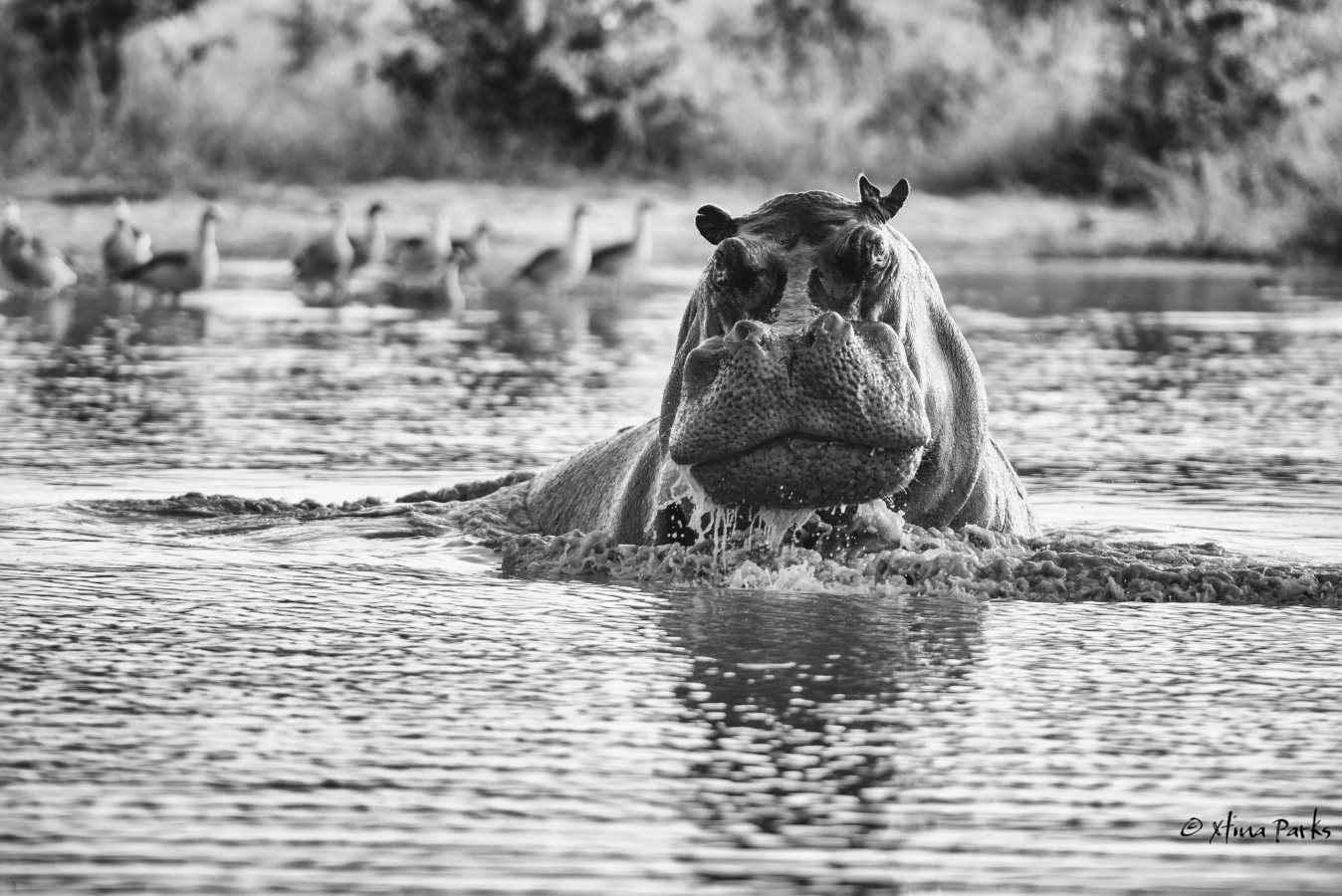 Kubu Bull.jpg