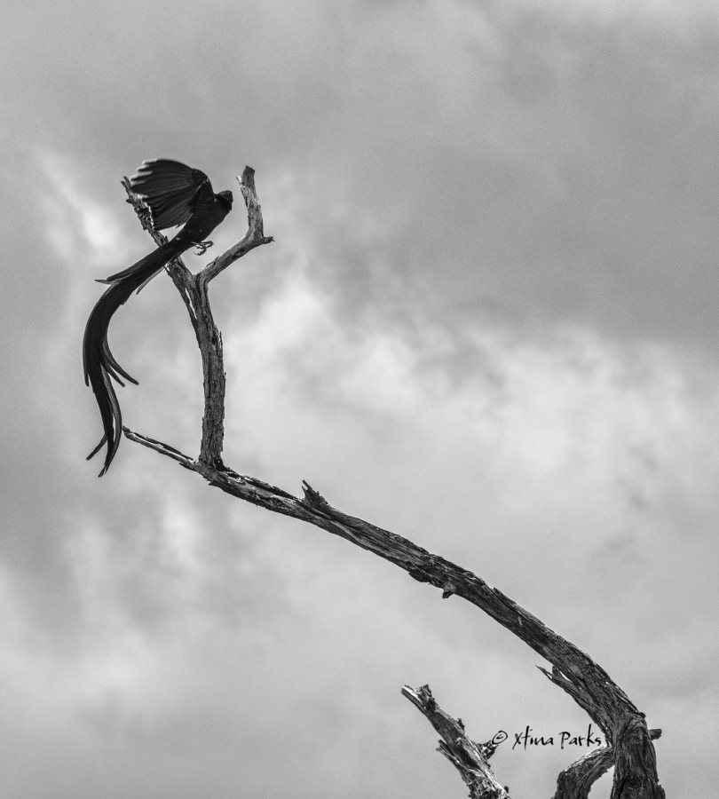 Widow Bird Sky.jpg