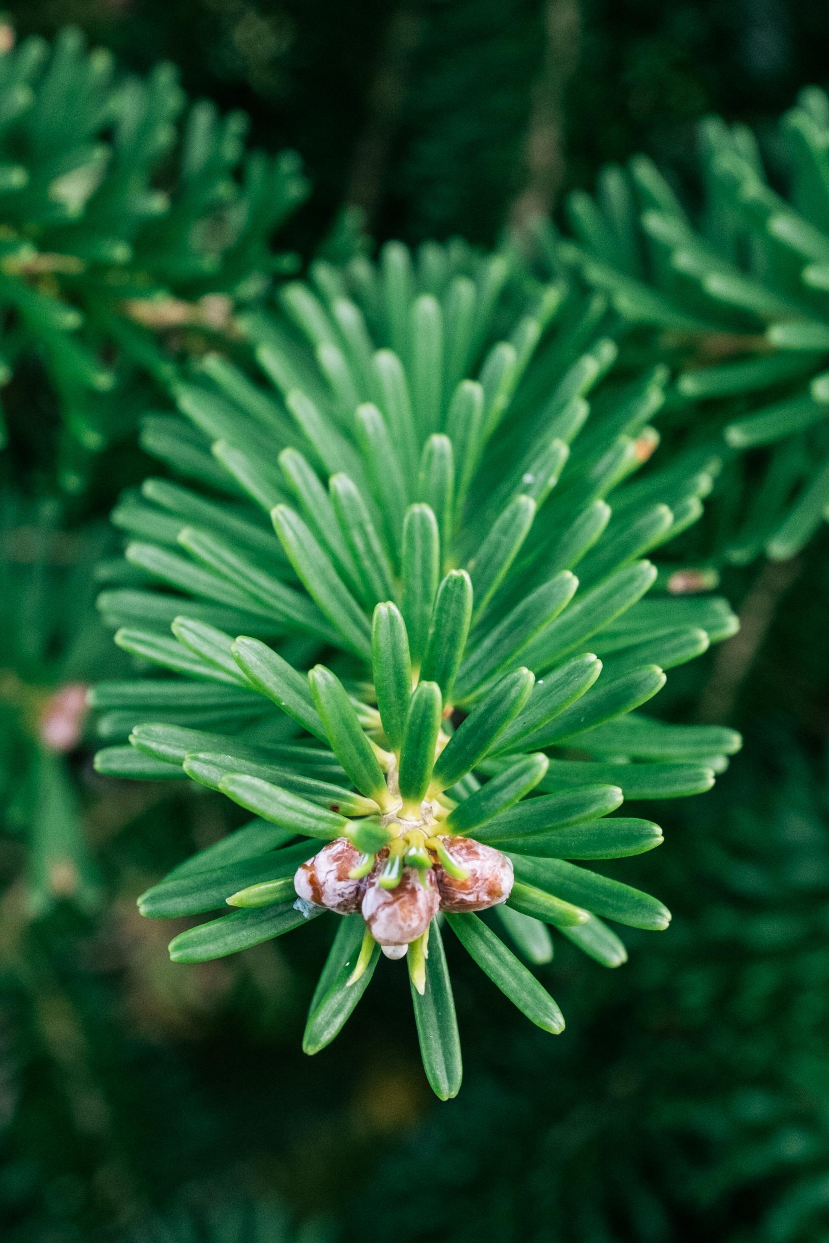 Korean_fir_needles.jpg
