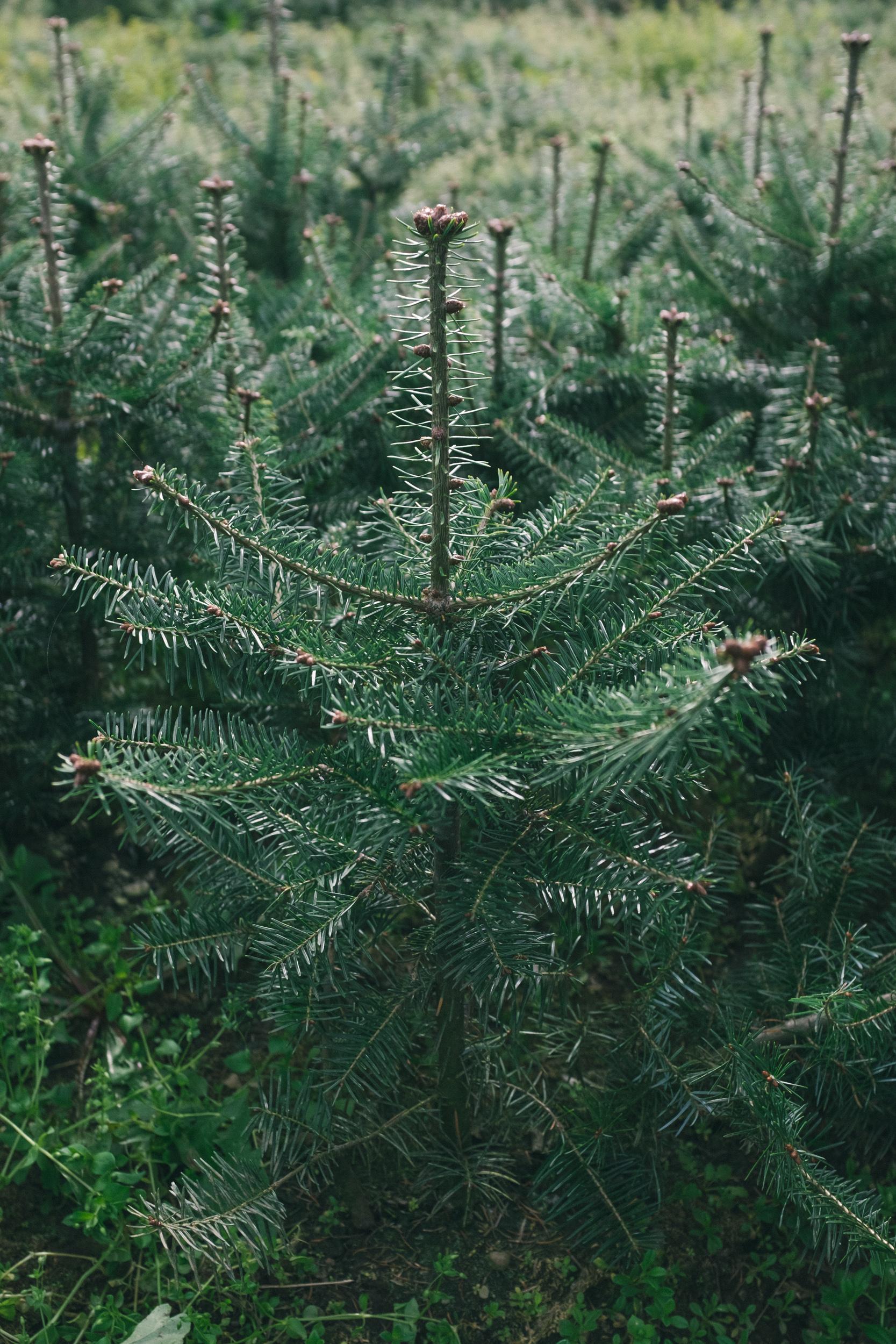 Balsam_fir_tree.jpg