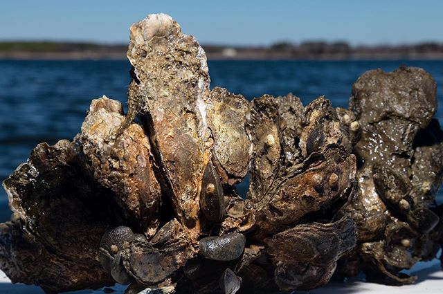 Here at the Paynter Lab we investigate the physiological and ecological processes associated with life in Chesapeake Bay. We focus on the biology, ecology, and restoration of the eastern oyster, Crassostrea virginica, which plays a critical role in the overall health of this estuary. Give us a follow! (Photo credits 📸: @willparson/@chesbayprogram) · · #chesapeakebay #oysterrestoration #oyster #science #research #savethebay #ORP