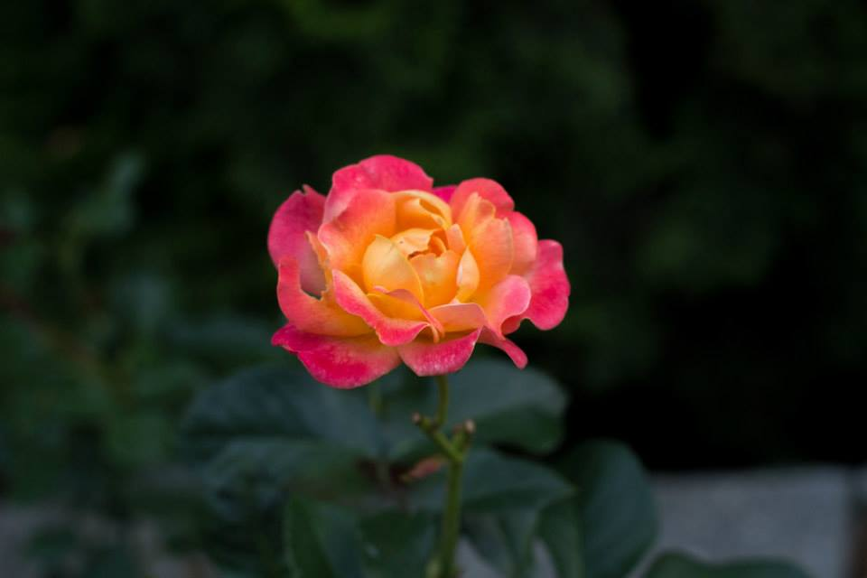 Merissa rose.jpg