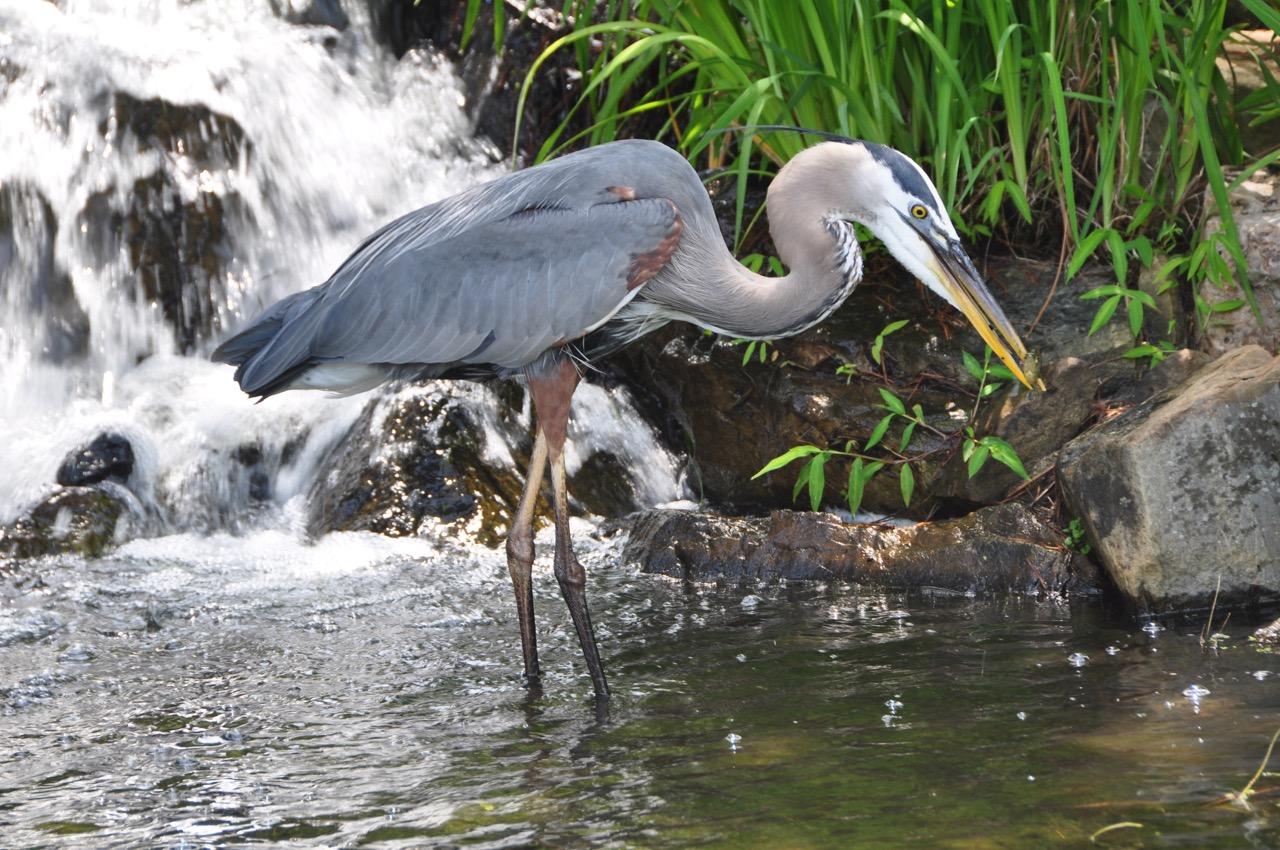GB Heron 2.jpg