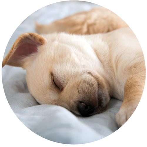 Ruhepausen - sind wichtig für den kleinen Welpen. Hunde brauchen grundsätzlich viel Ruhe und Schlaf - sehr junge Hunde und Senioren umso mehr. Daher sollte der Welpe nicht überfordert werden.