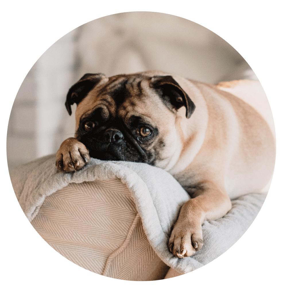 Silvester zusammen - Den Hund zu Silvester auf keinen Fall allein zu Hause lassen - in dieser für Hunde sehr beängstigenden Situation brauchen sie ihren Buddy in ihrer Nähe