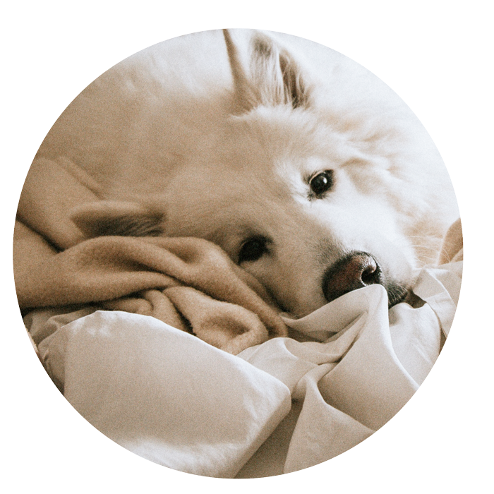 Feine Hundeohren - nehmen die vielen Geräusche in der Silvesternacht noch intensiver wahr. Daher diese bestmöglich dämpfen und den Hund ablenken