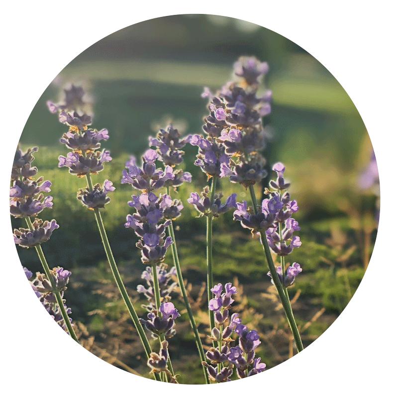 Lavendel - duftet nicht nur besonders gut, sondern wirkt in unserem Pfötchenbalsam beruhigend und entspannend