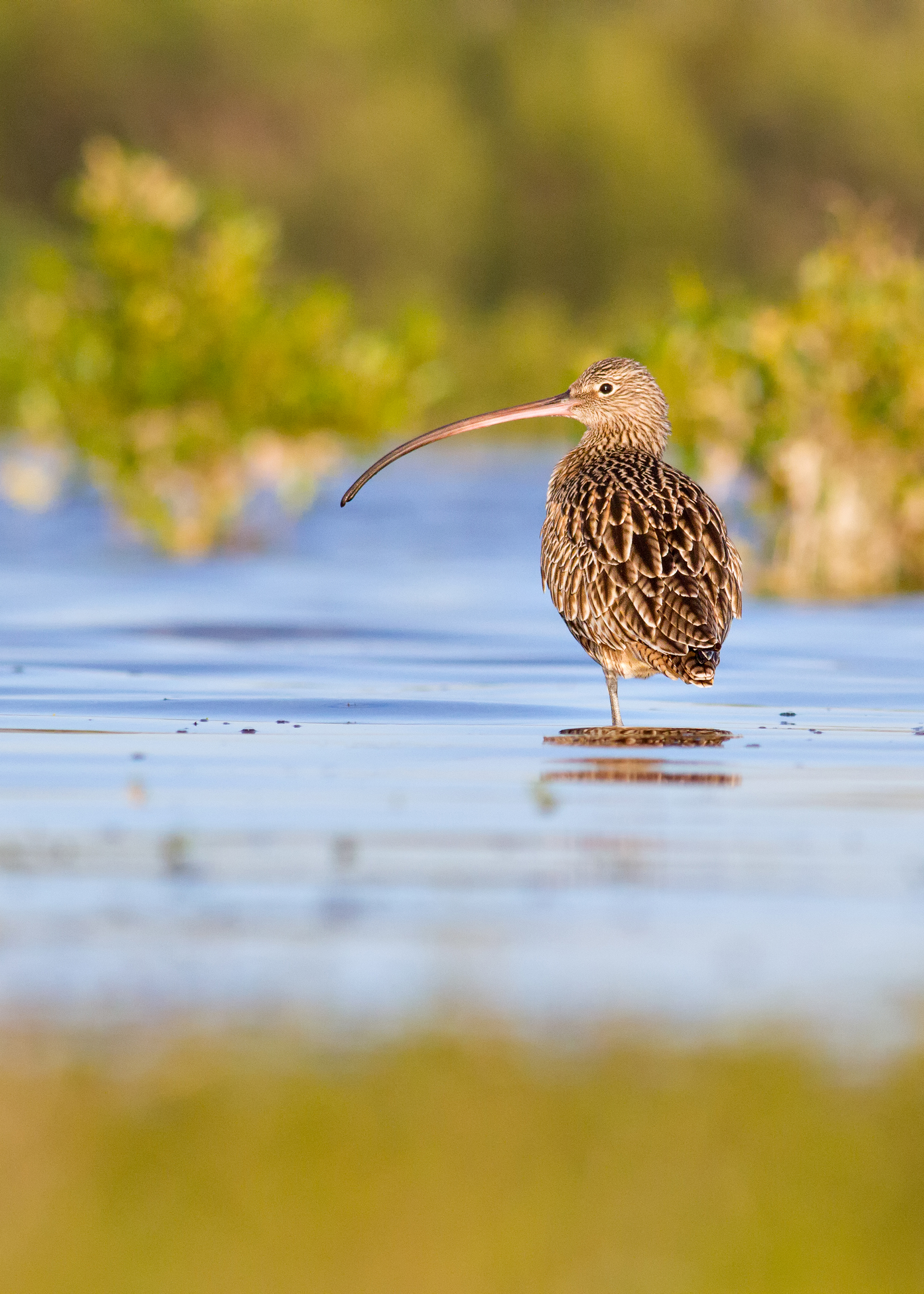 Eastern Curlew. Photo by Duade Paton