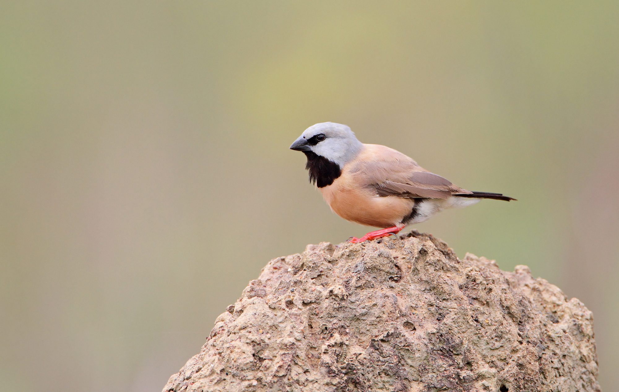 Black-throated Finch 2.jpeg