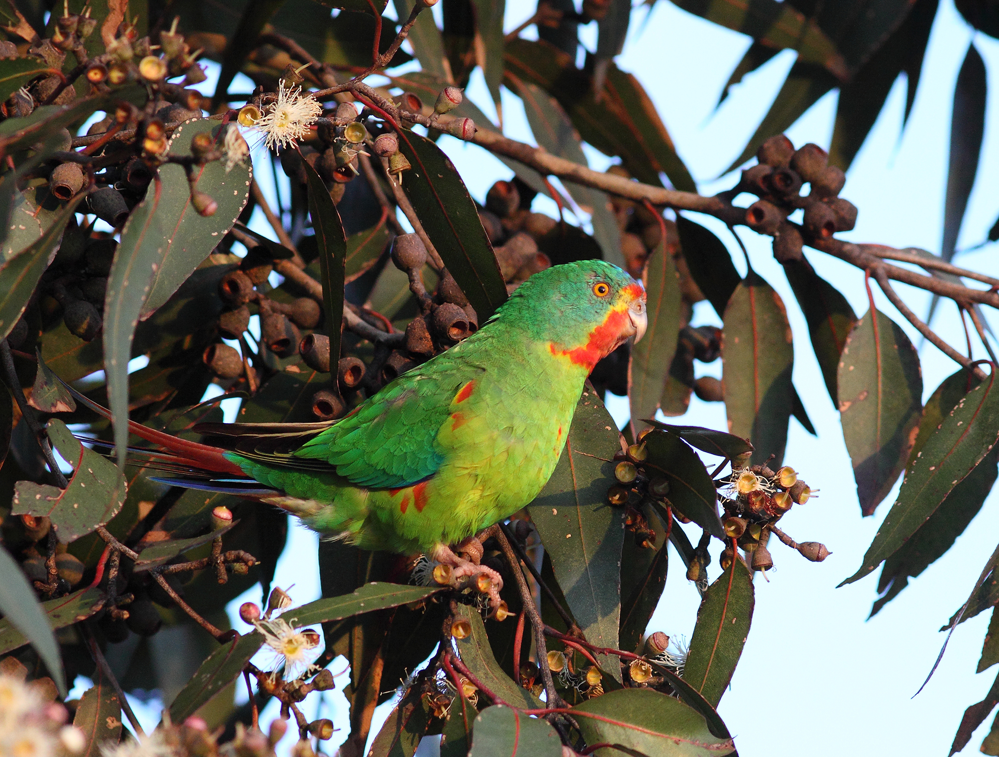 swift parrot.jpeg