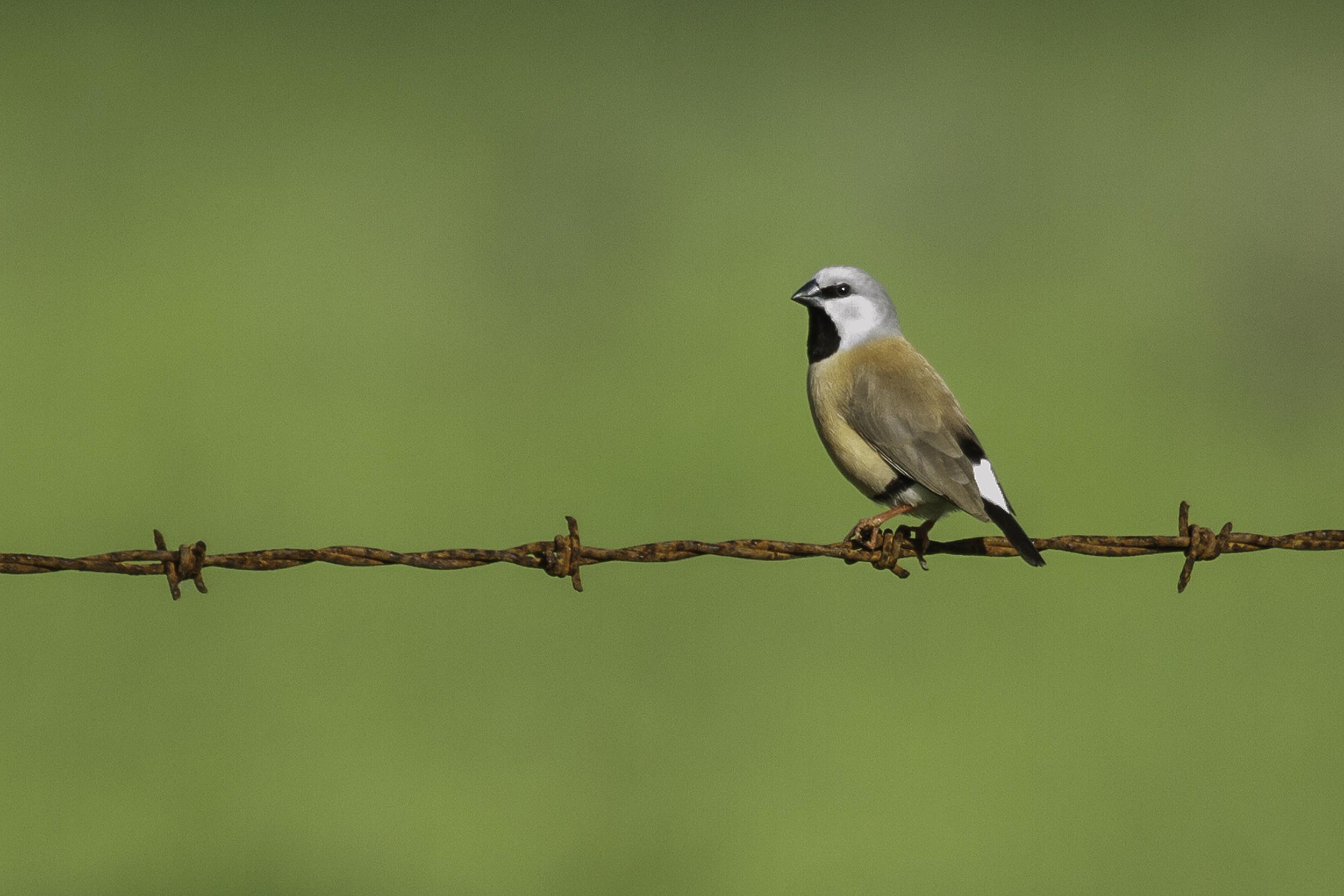 Black-throated Finch 2 - web edit.jpg