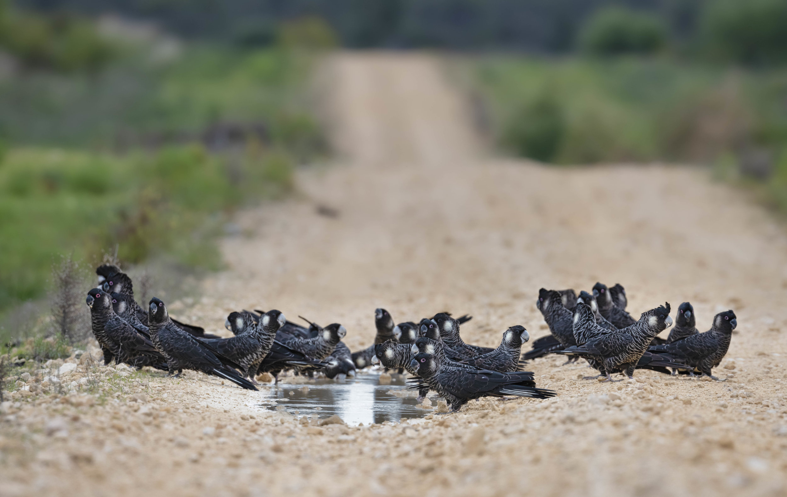 Carnaby Black Cockatoos, Country Roads by Tim Nillipogu.jpg