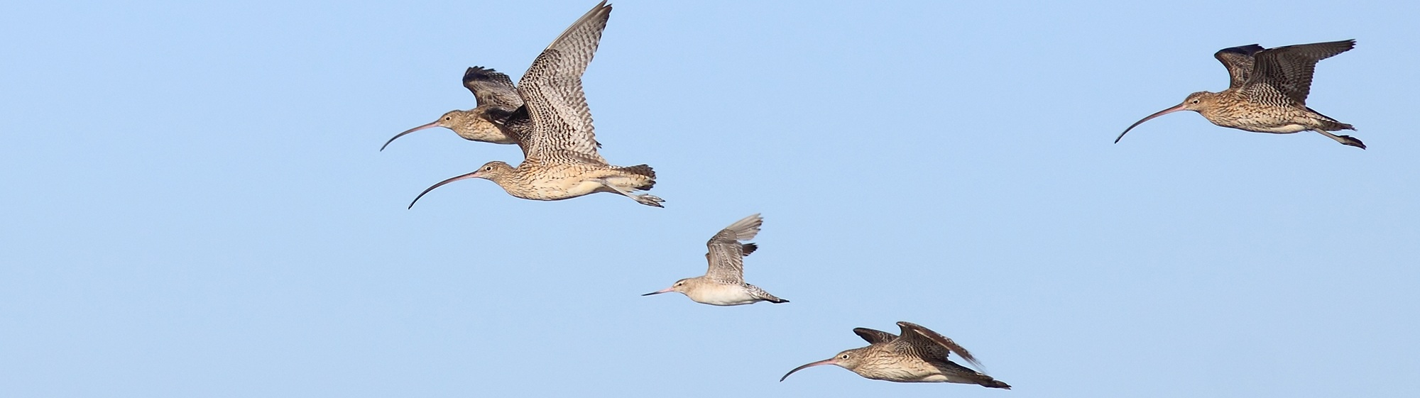 Eastern+Curlew_AS+-+to+edit+for+web.jpg