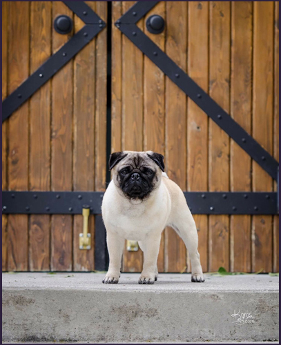 Pug Conformation.jpg